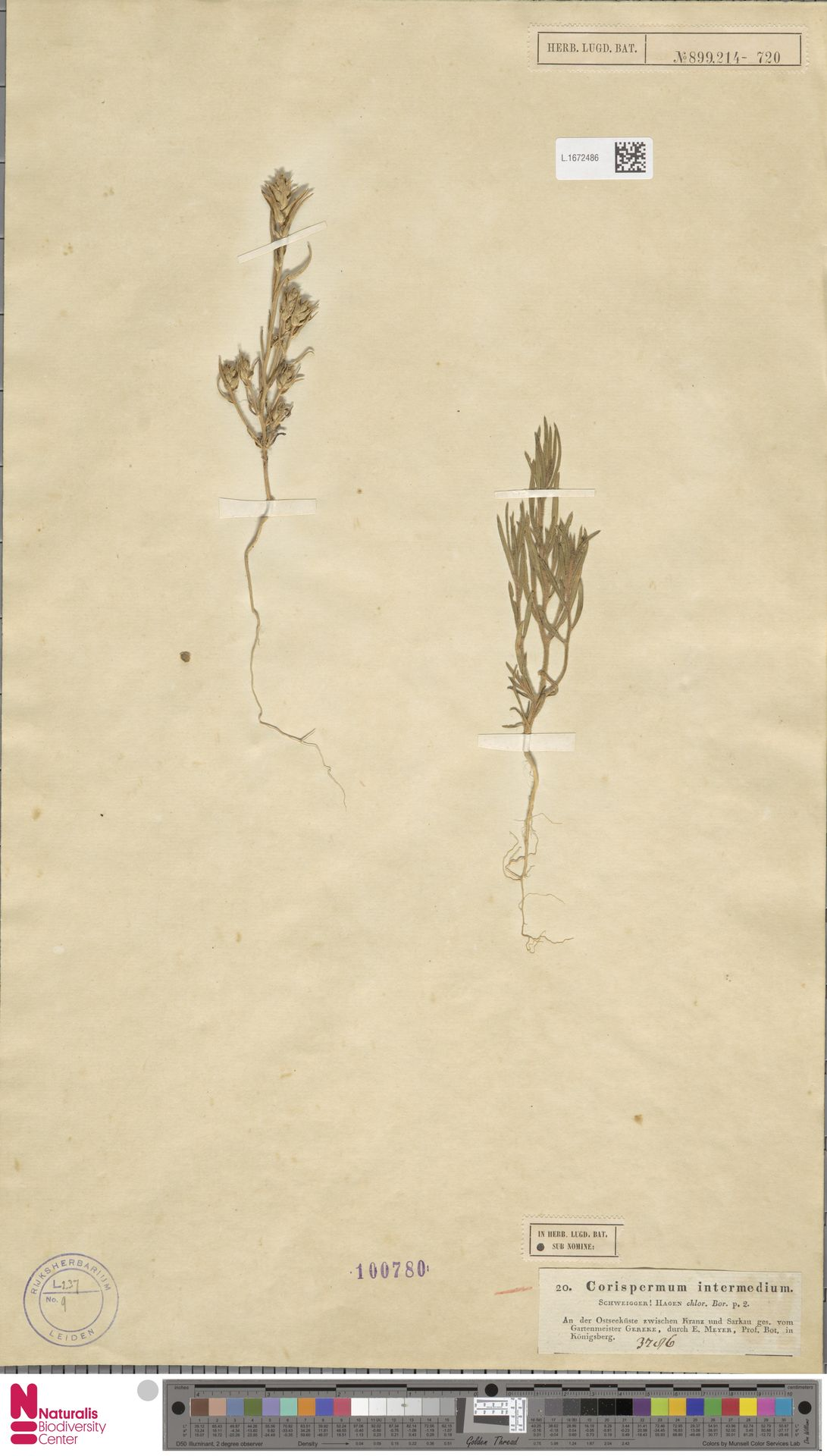 L.1672486 | Corispermum intermedium Schweigg.
