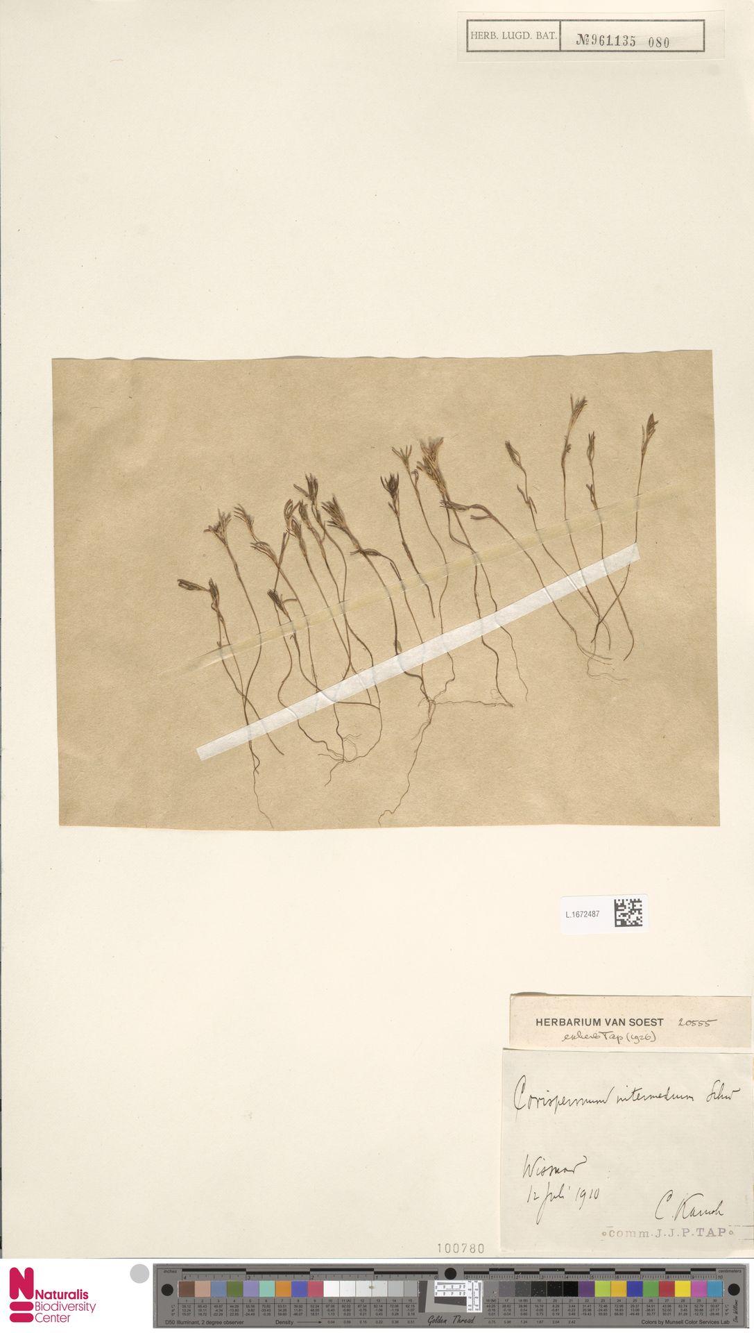 L.1672487 | Corispermum intermedium Schweigg.