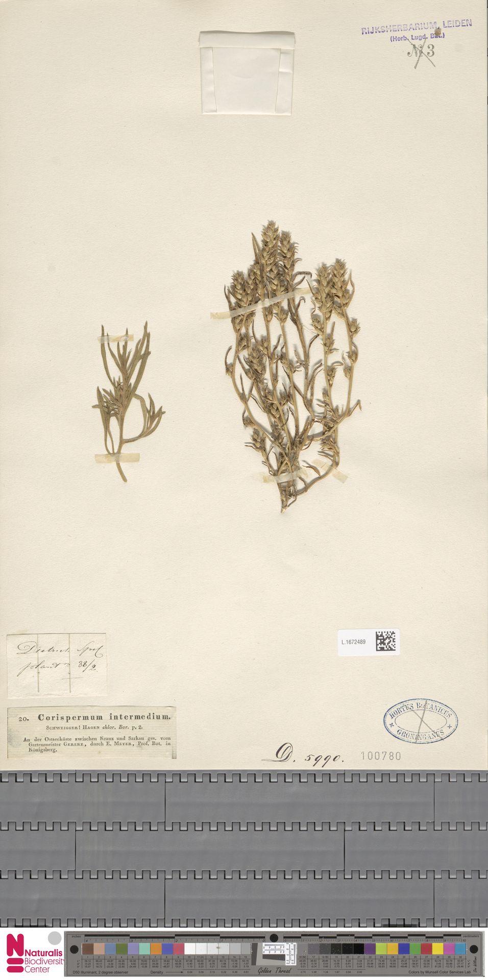 L.1672489 | Corispermum intermedium Schweigg.