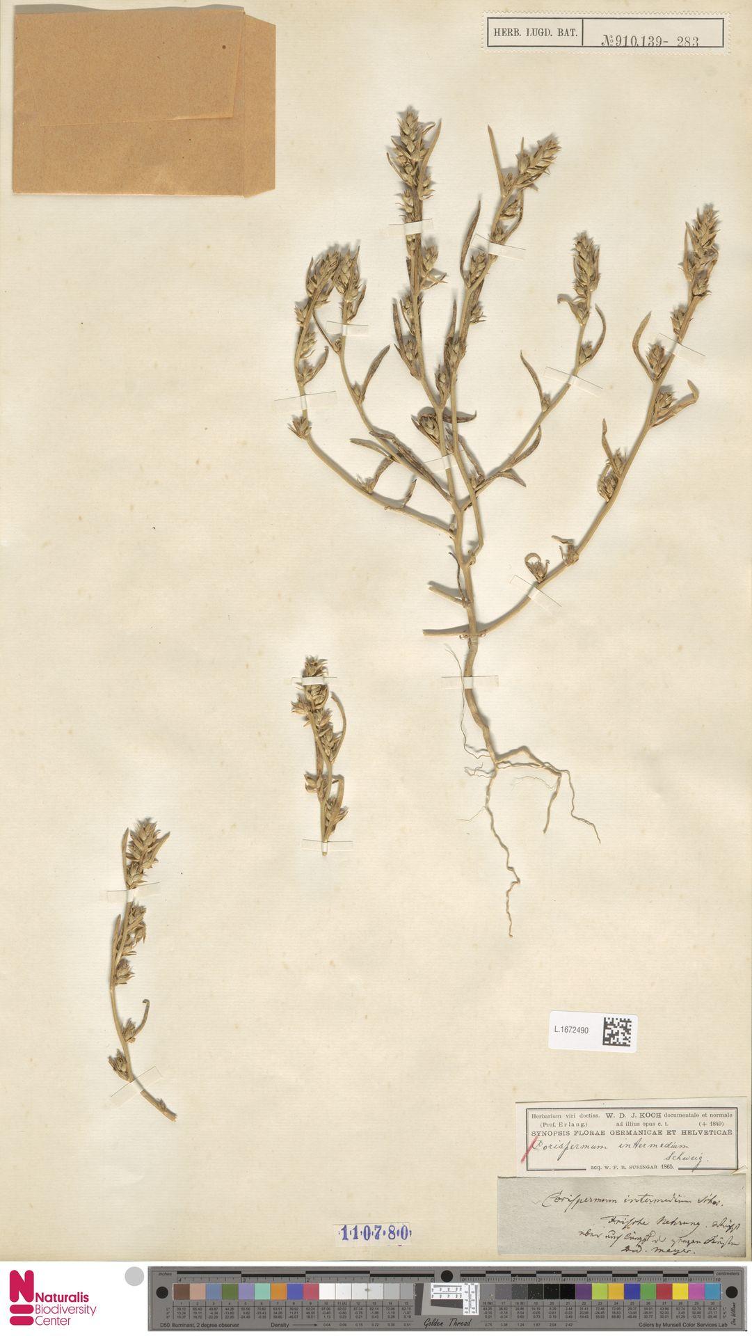 L.1672490 | Corispermum intermedium Schweigg.