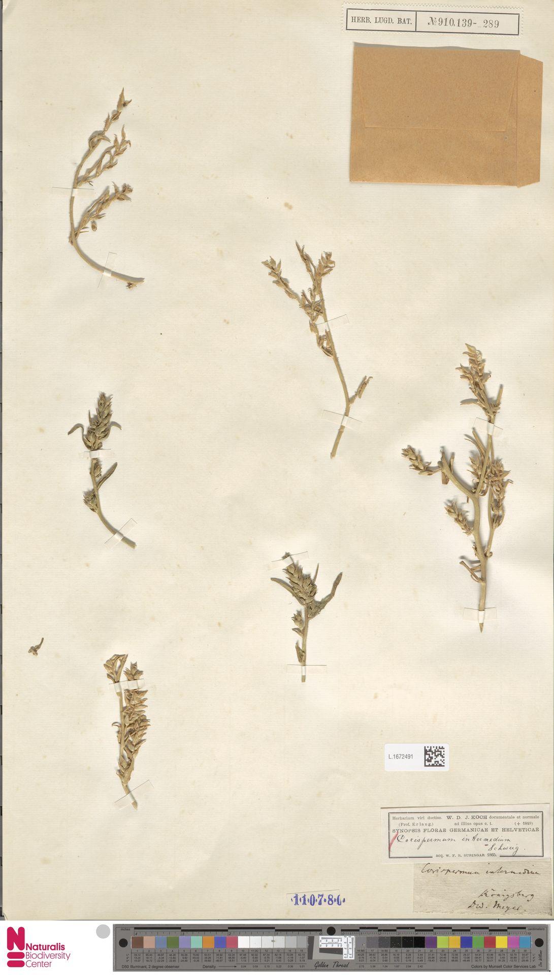 L.1672491 | Corispermum intermedium Schweigg.