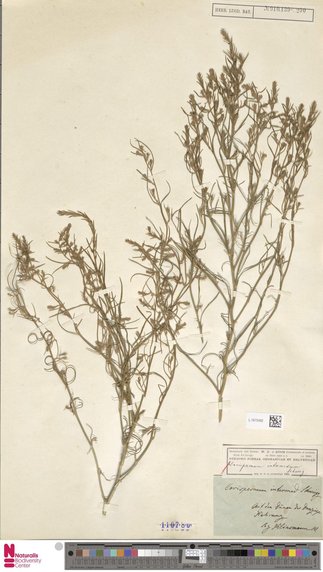 L.1672492 | Corispermum intermedium Schweigg.
