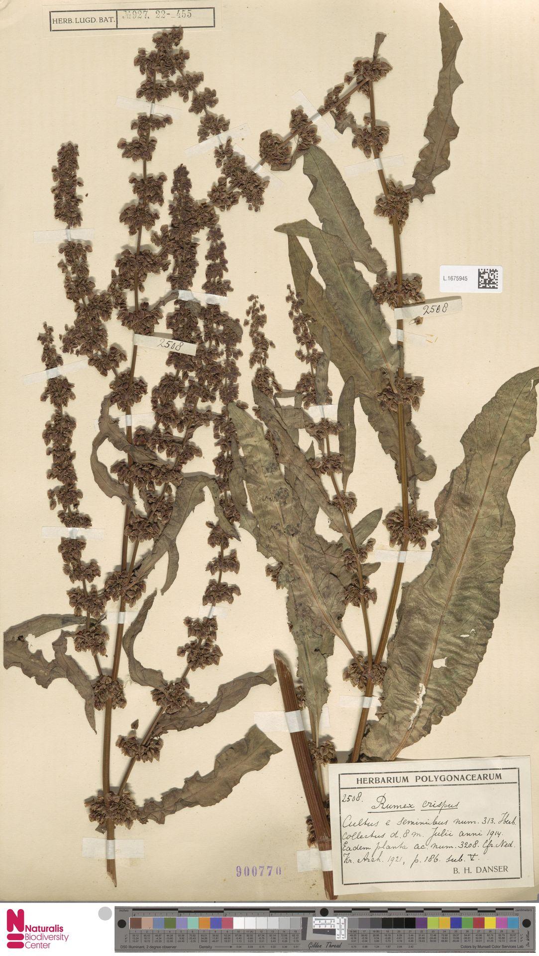 L.1675945 | Rumex crispus L.