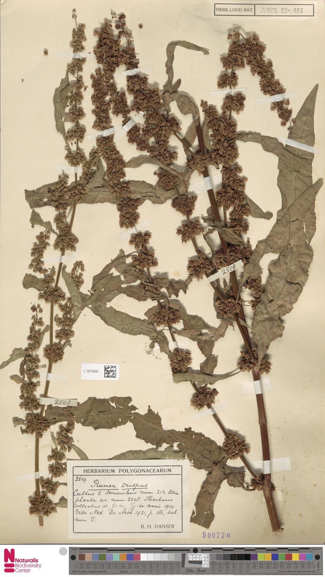 L.1675946 | Rumex crispus L.