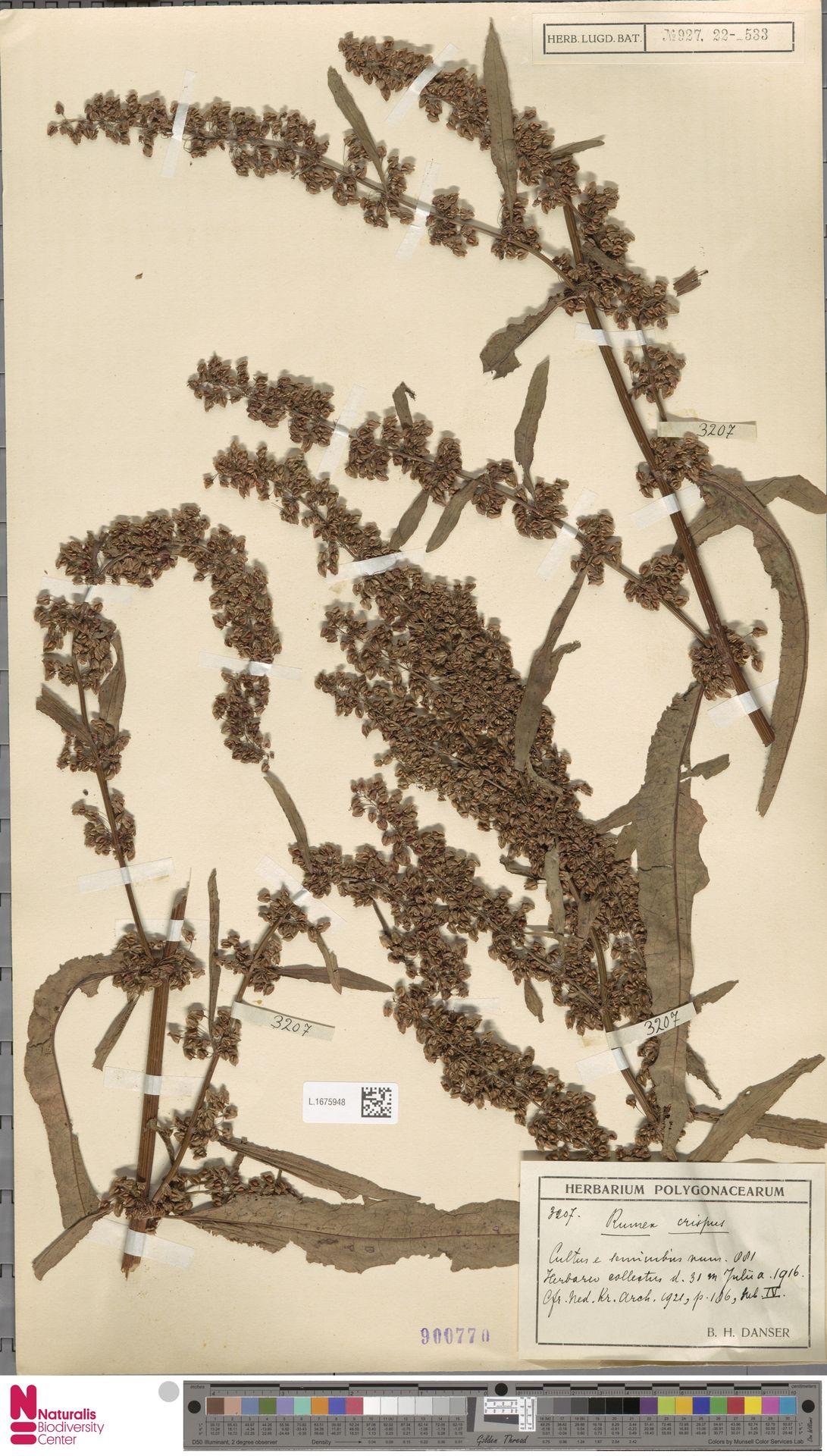 L.1675948 | Rumex crispus L.