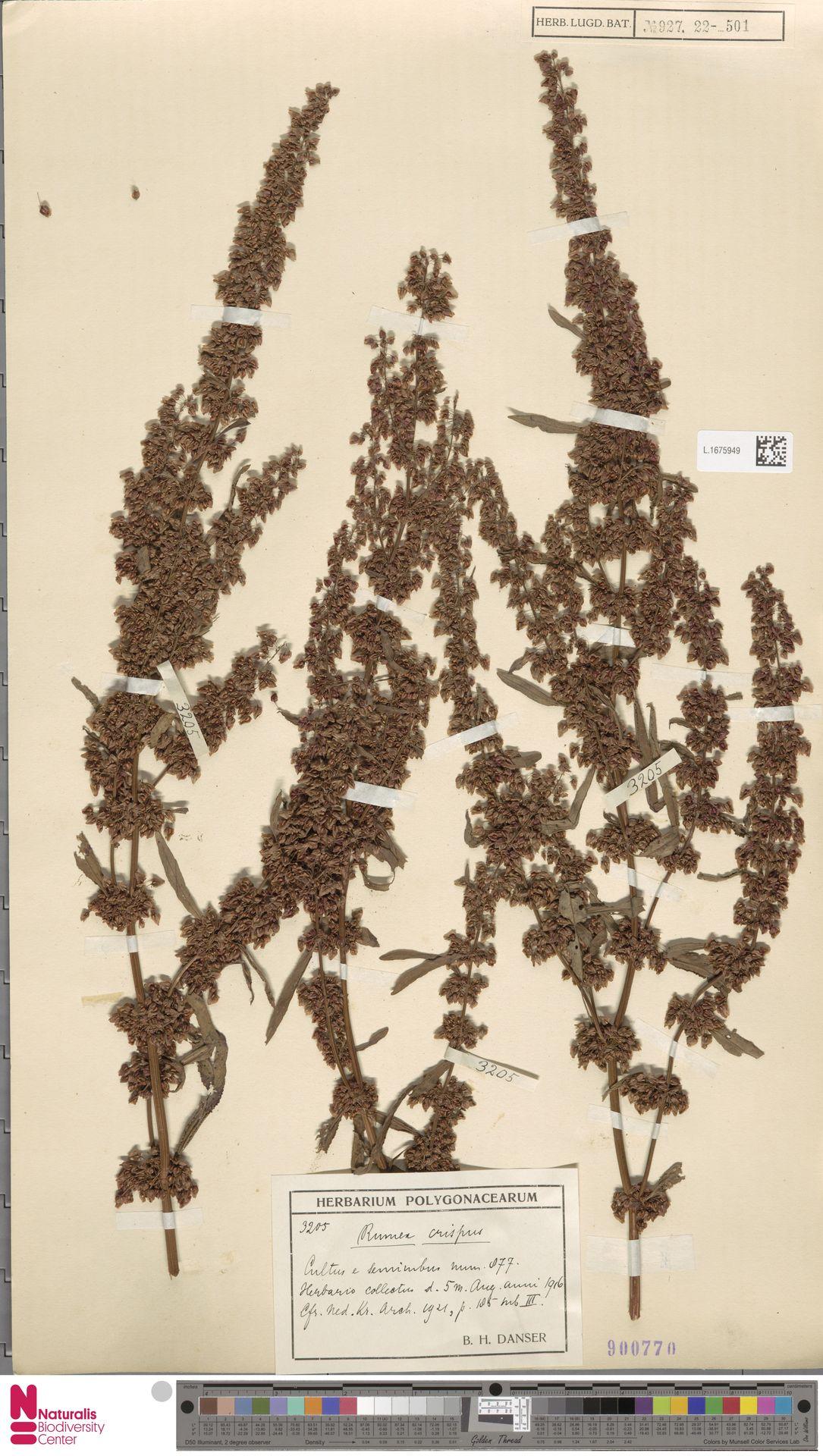 L.1675949 | Rumex crispus L.