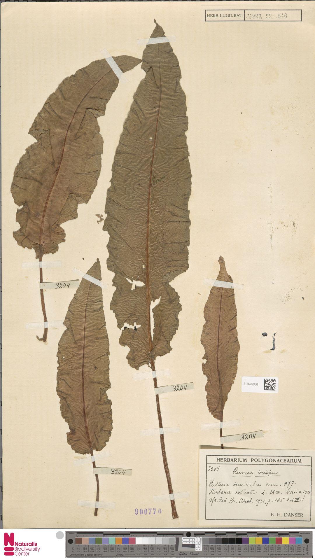 L.1675950 | Rumex crispus L.