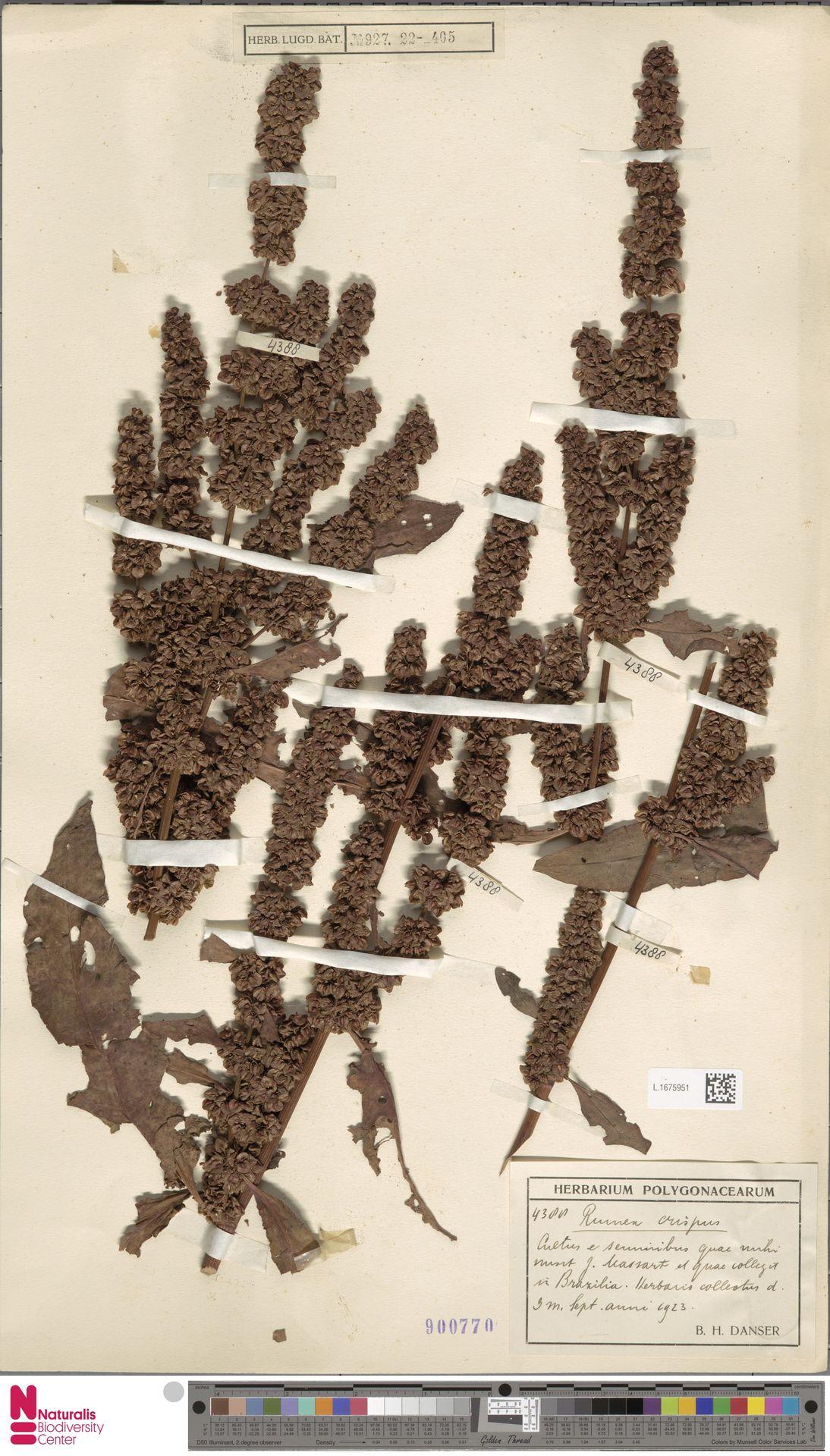L.1675951 | Rumex crispus L.