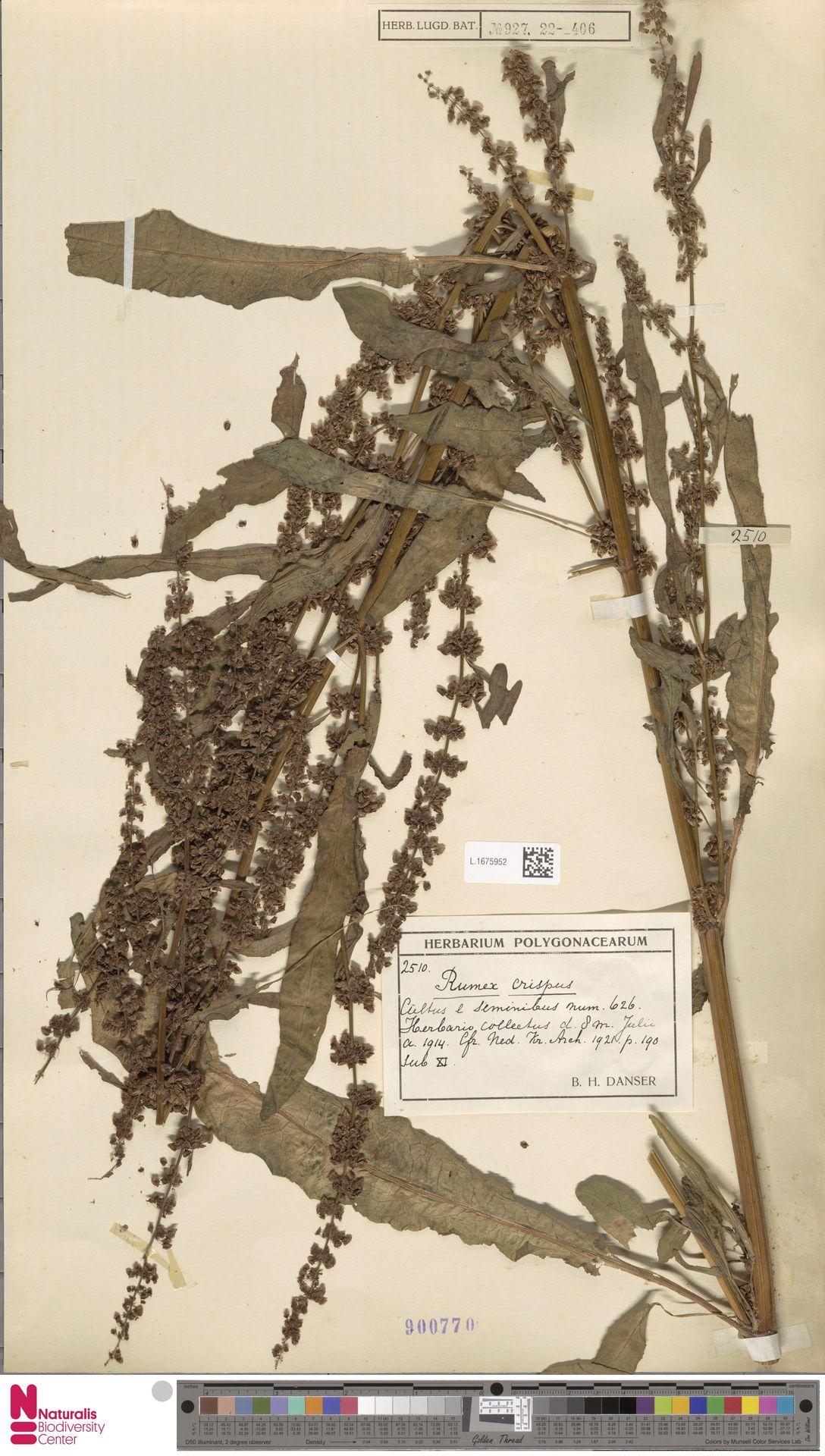 L.1675952 | Rumex crispus L.