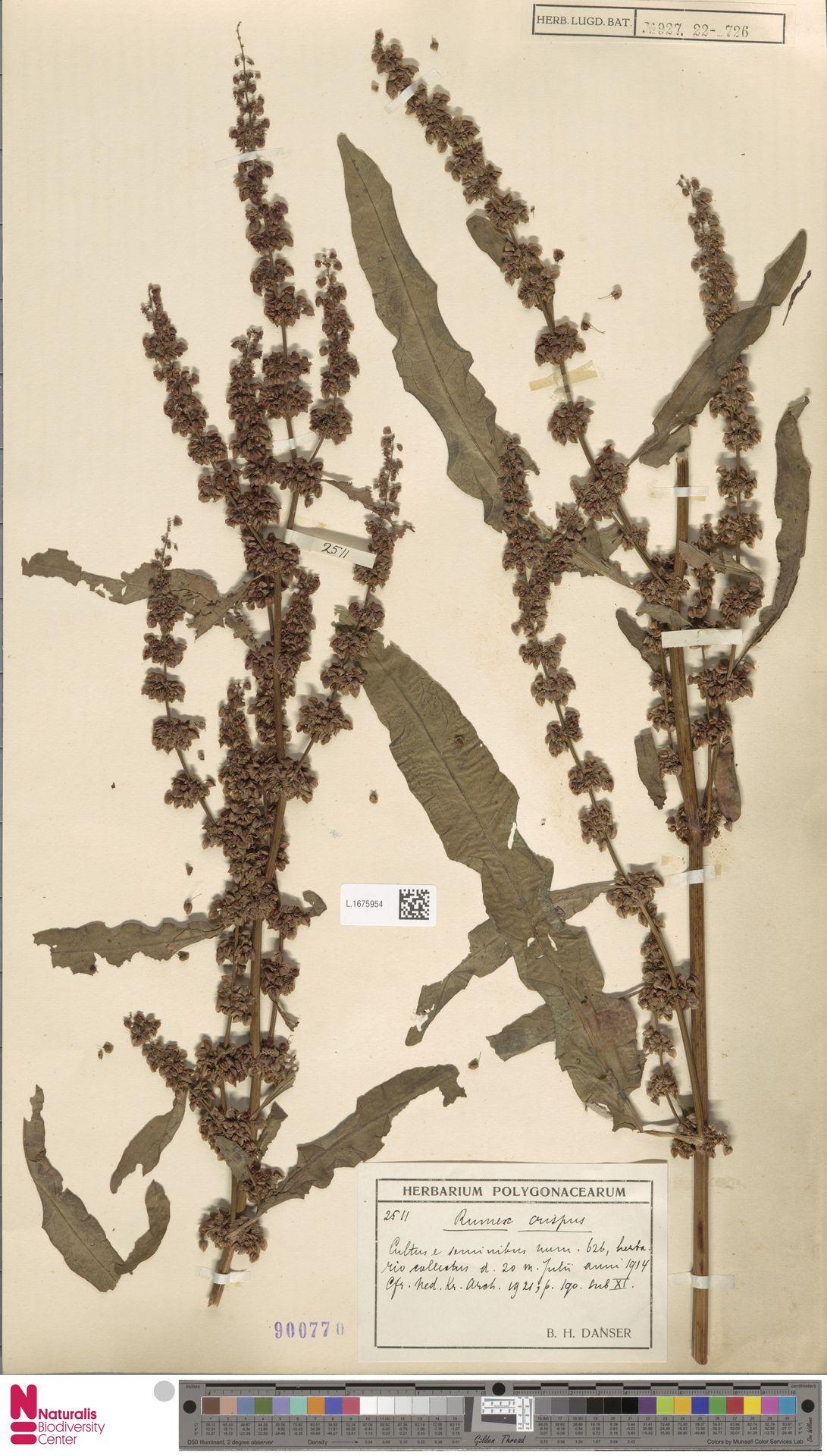 L.1675954 | Rumex crispus L.