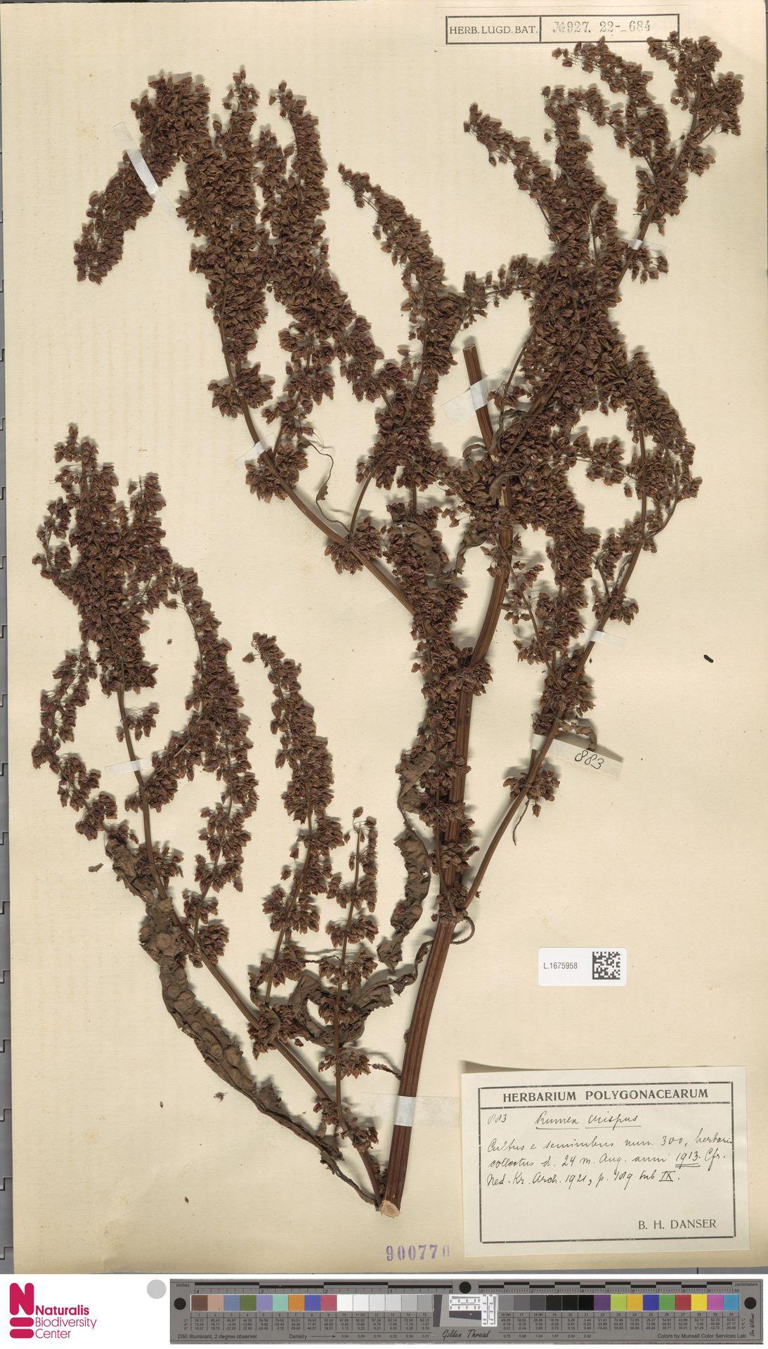 L.1675958 | Rumex crispus L.