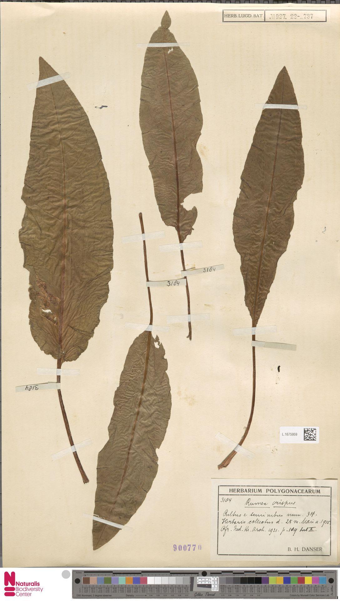 L.1675959 | Rumex crispus L.