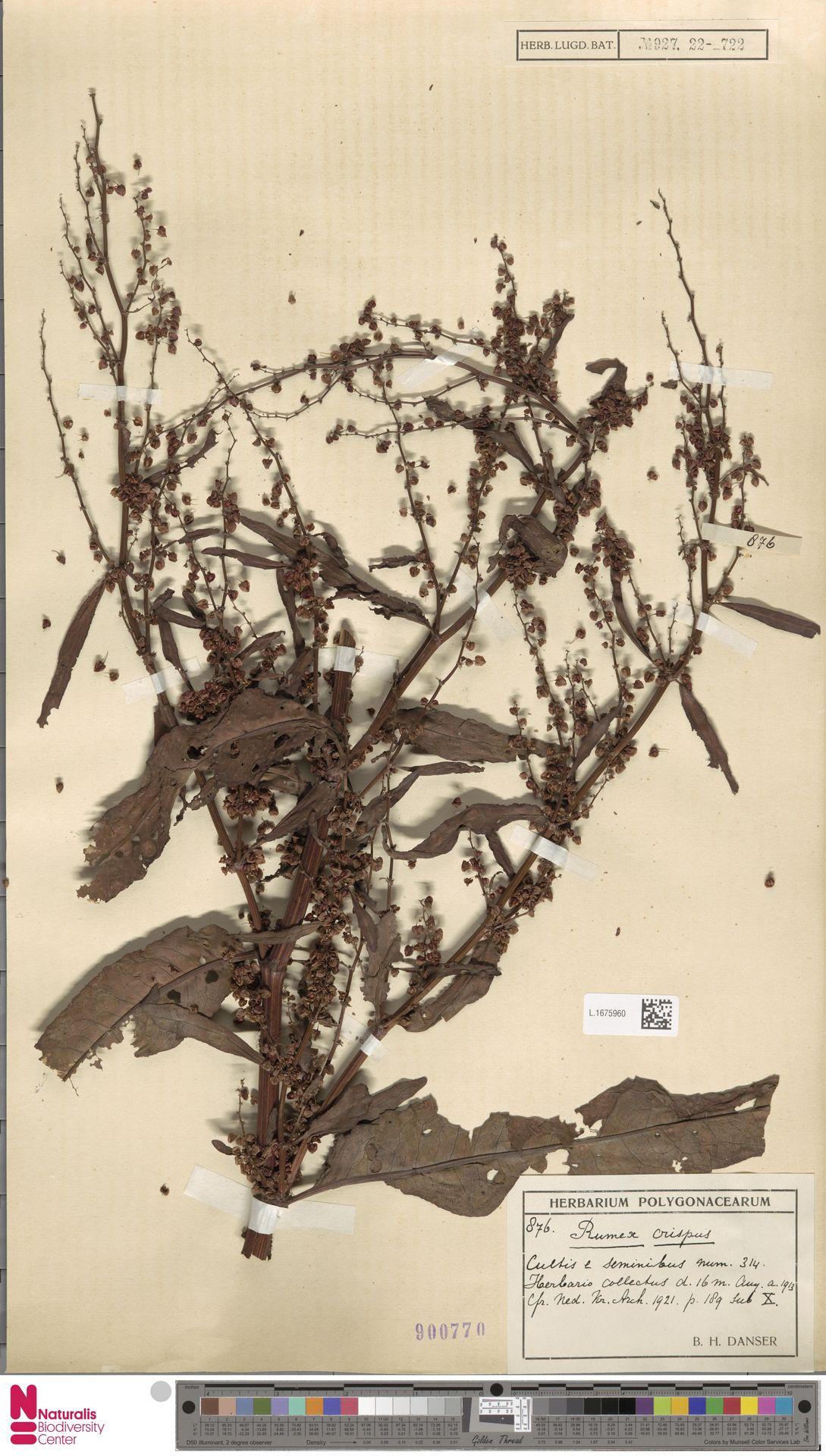 L.1675960 | Rumex crispus L.