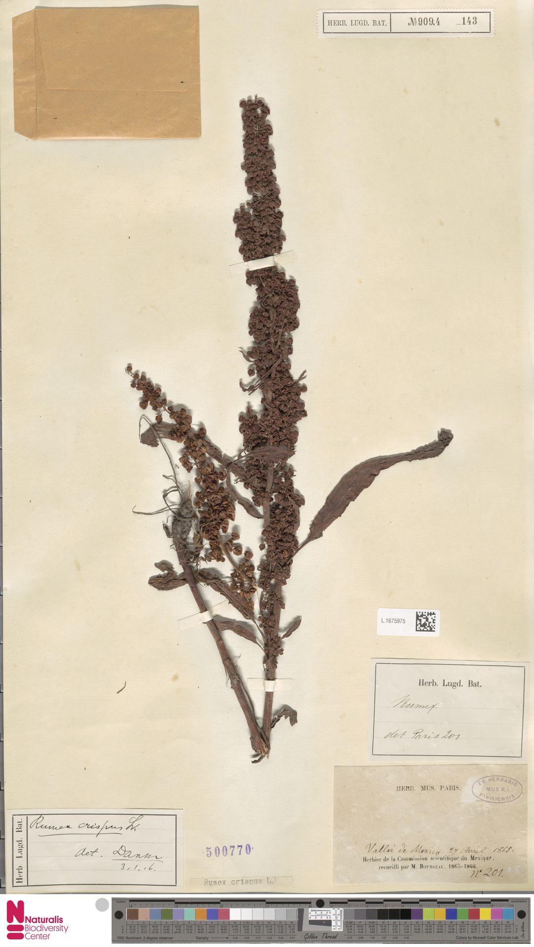 L.1675975 | Rumex crispus L.