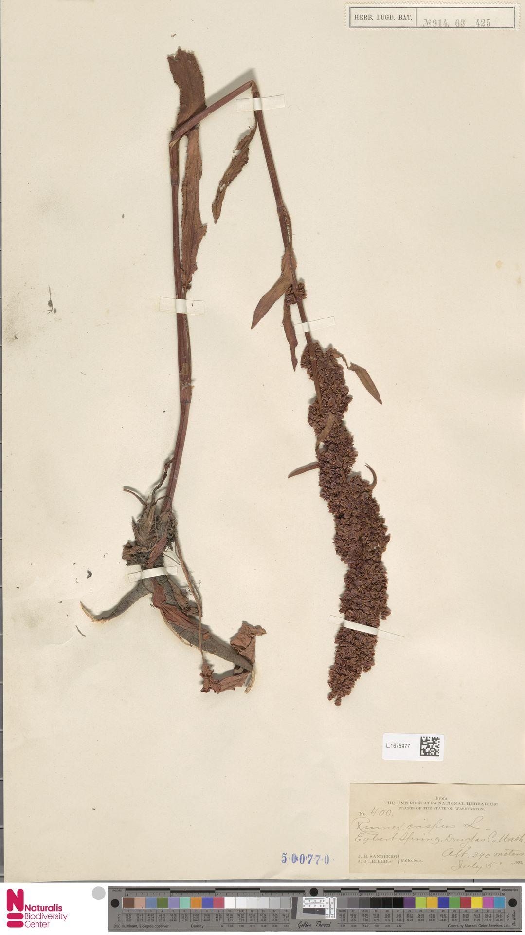 L.1675977   Rumex crispus L.