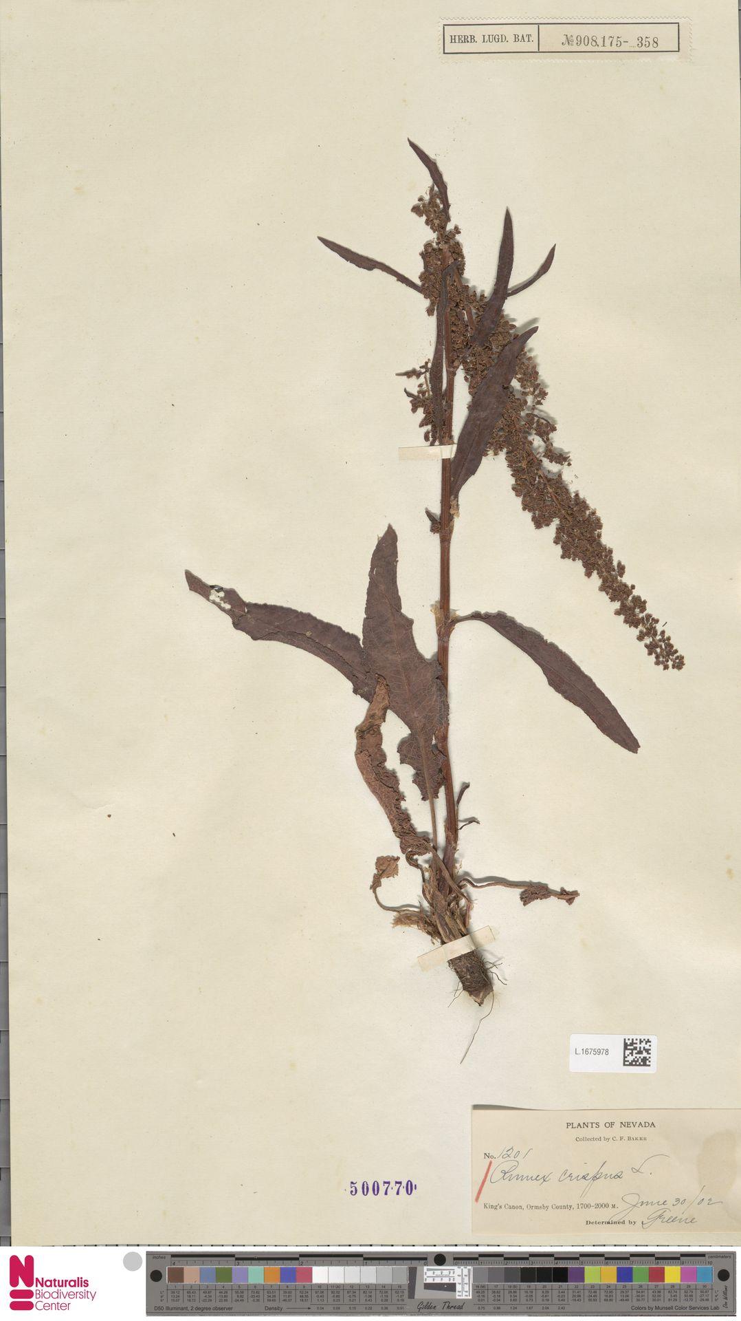 L.1675978 | Rumex crispus L.