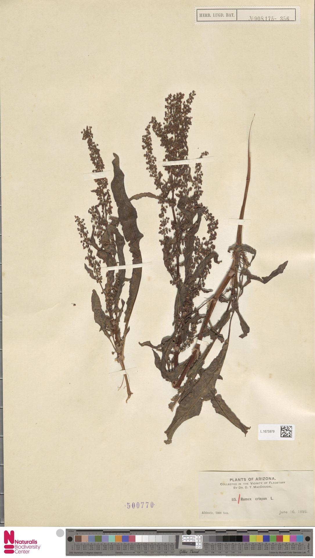 L.1675979 | Rumex crispus L.