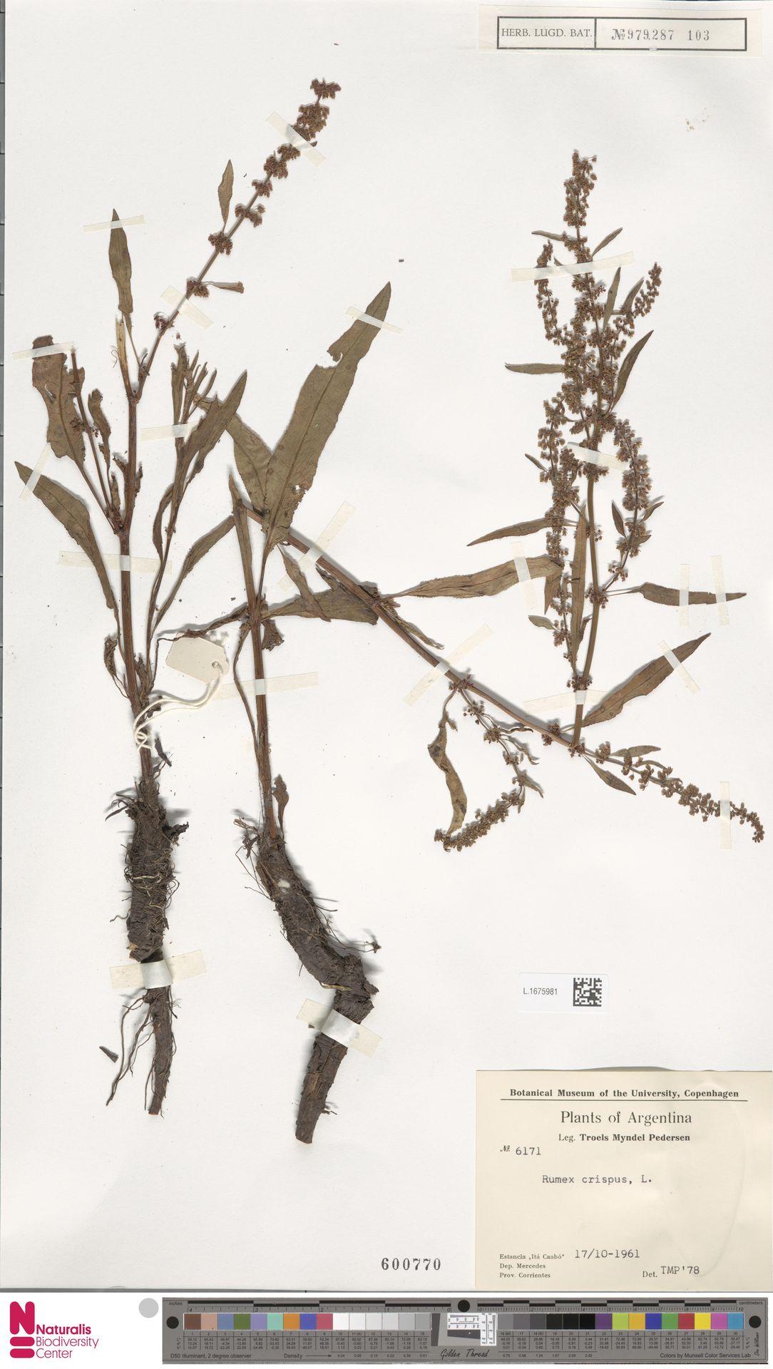 L.1675981   Rumex crispus L.