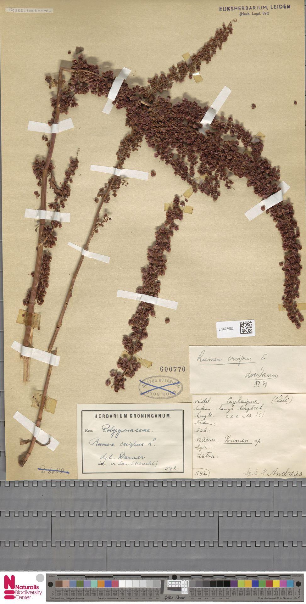 L.1675982 | Rumex crispus L.