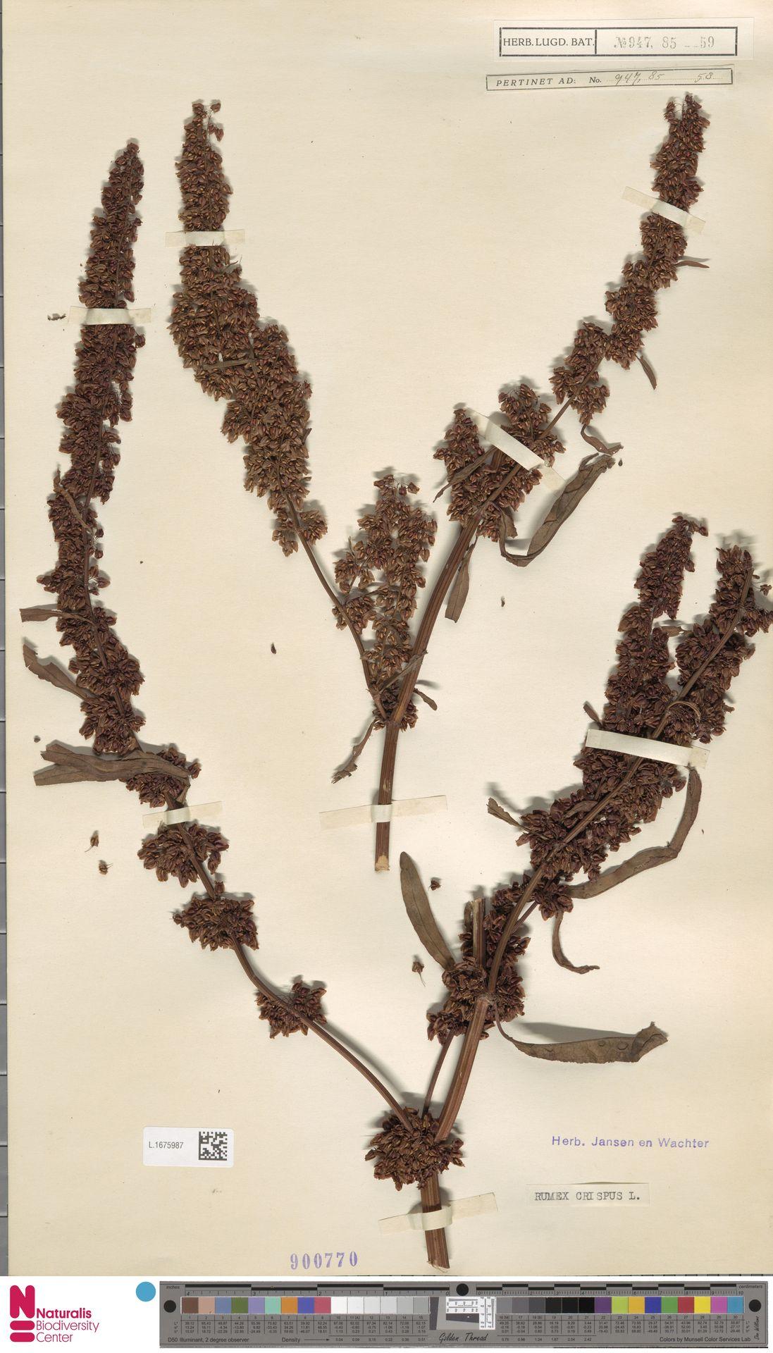 L.1675987 | Rumex crispus L.