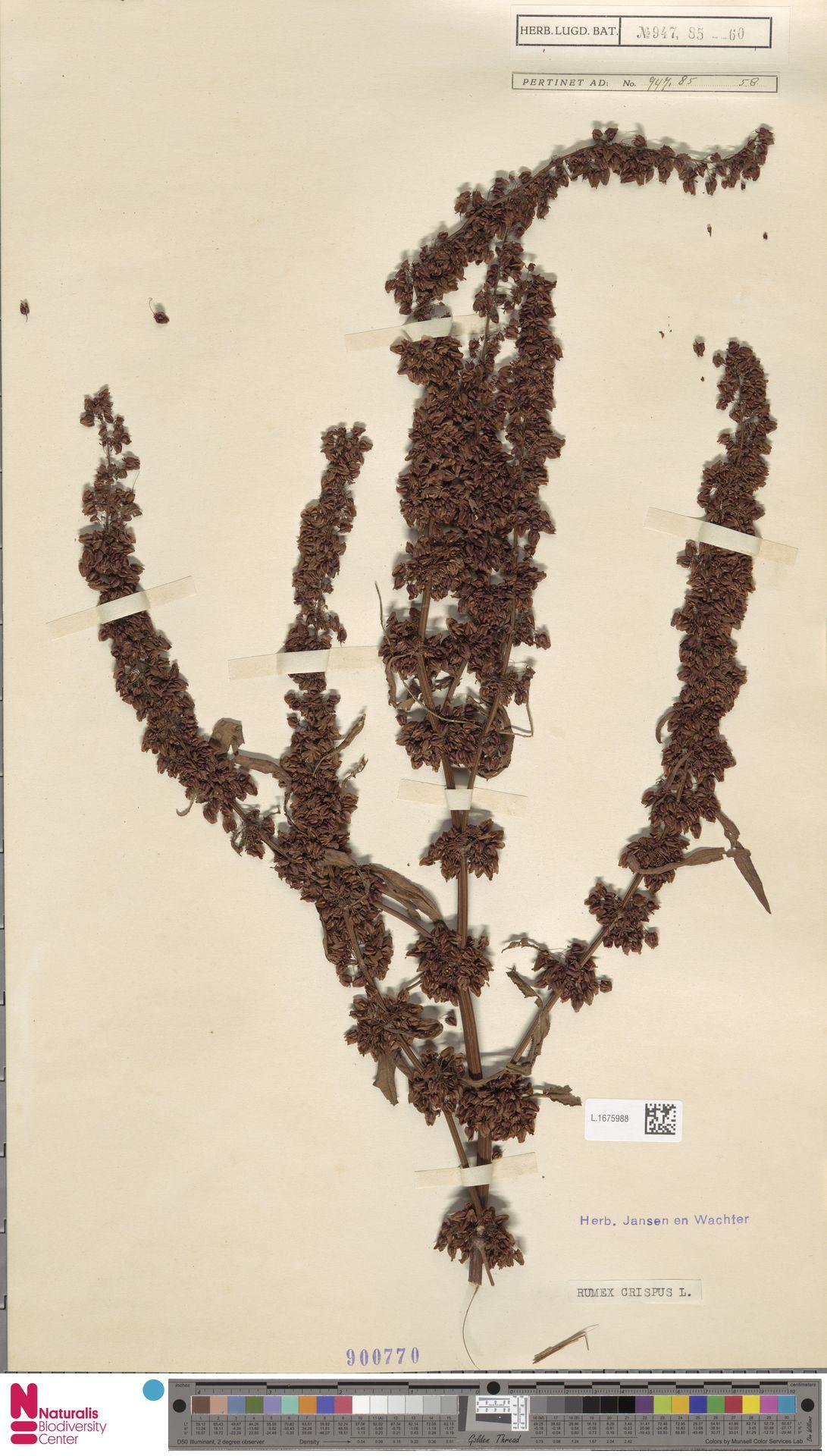 L.1675988 | Rumex crispus L.