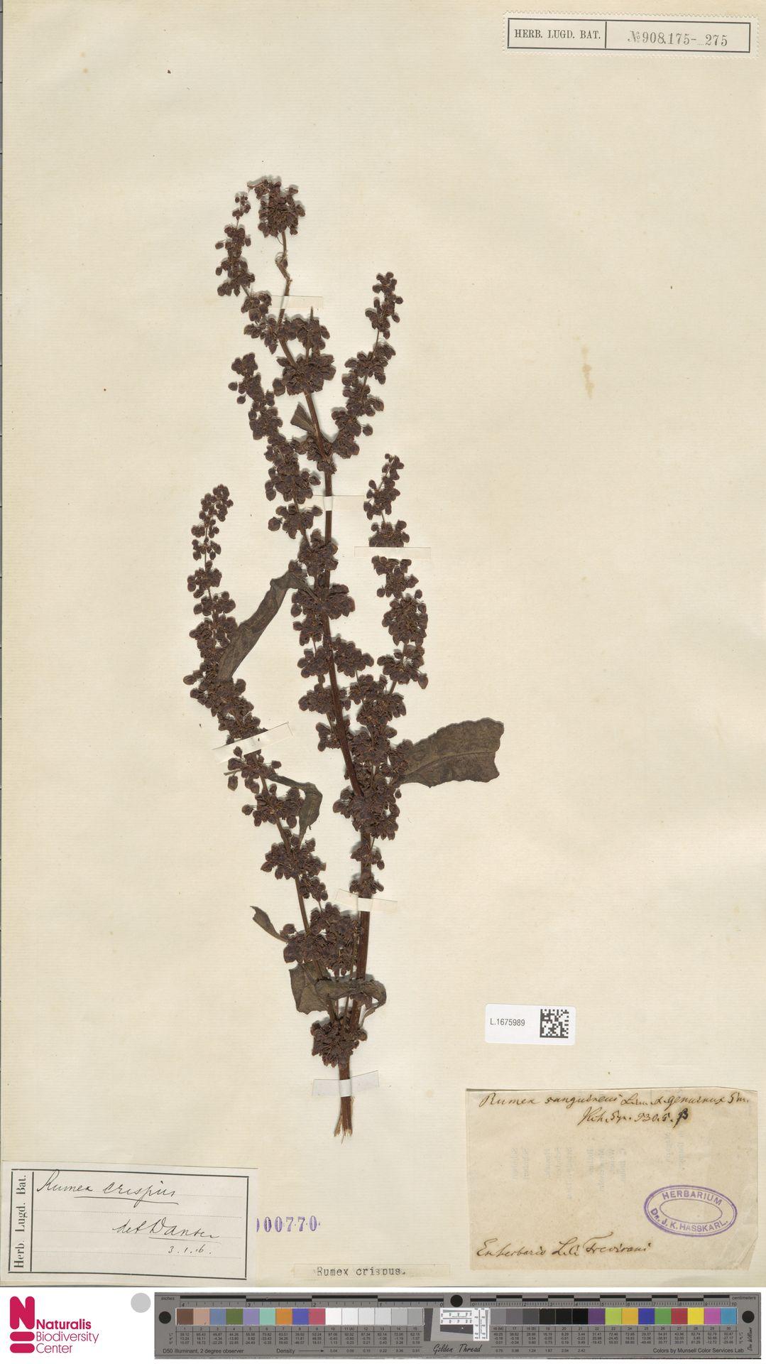 L.1675989 | Rumex crispus L.