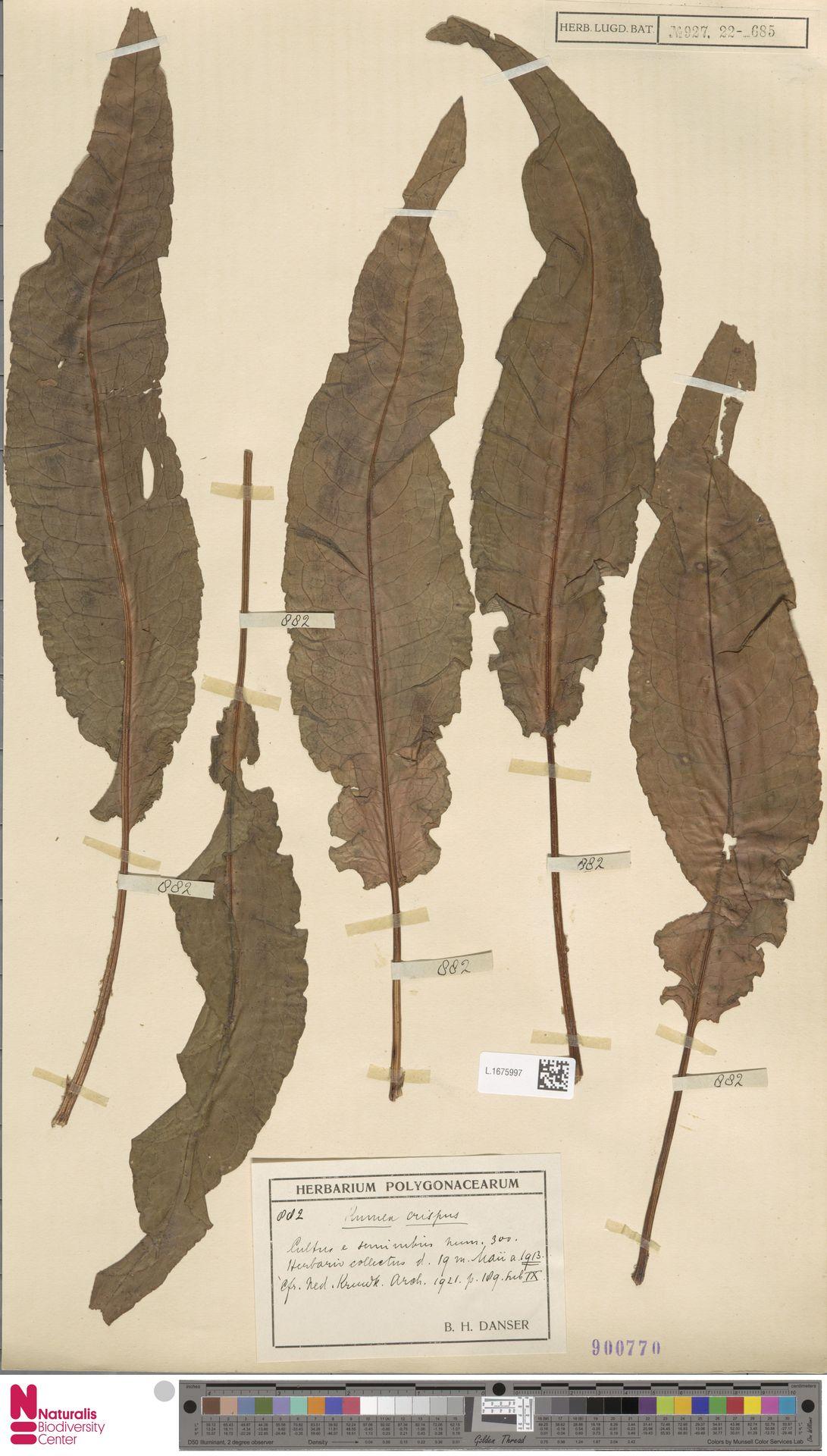 L.1675997   Rumex crispus L.