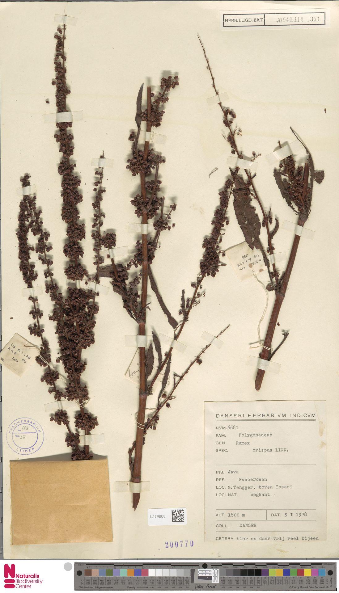 L.1676003 | Rumex crispus L.