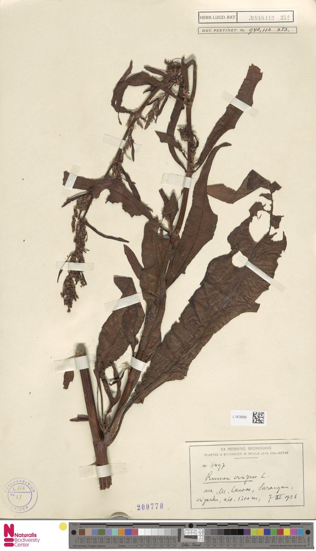 L.1676005 | Rumex crispus L.