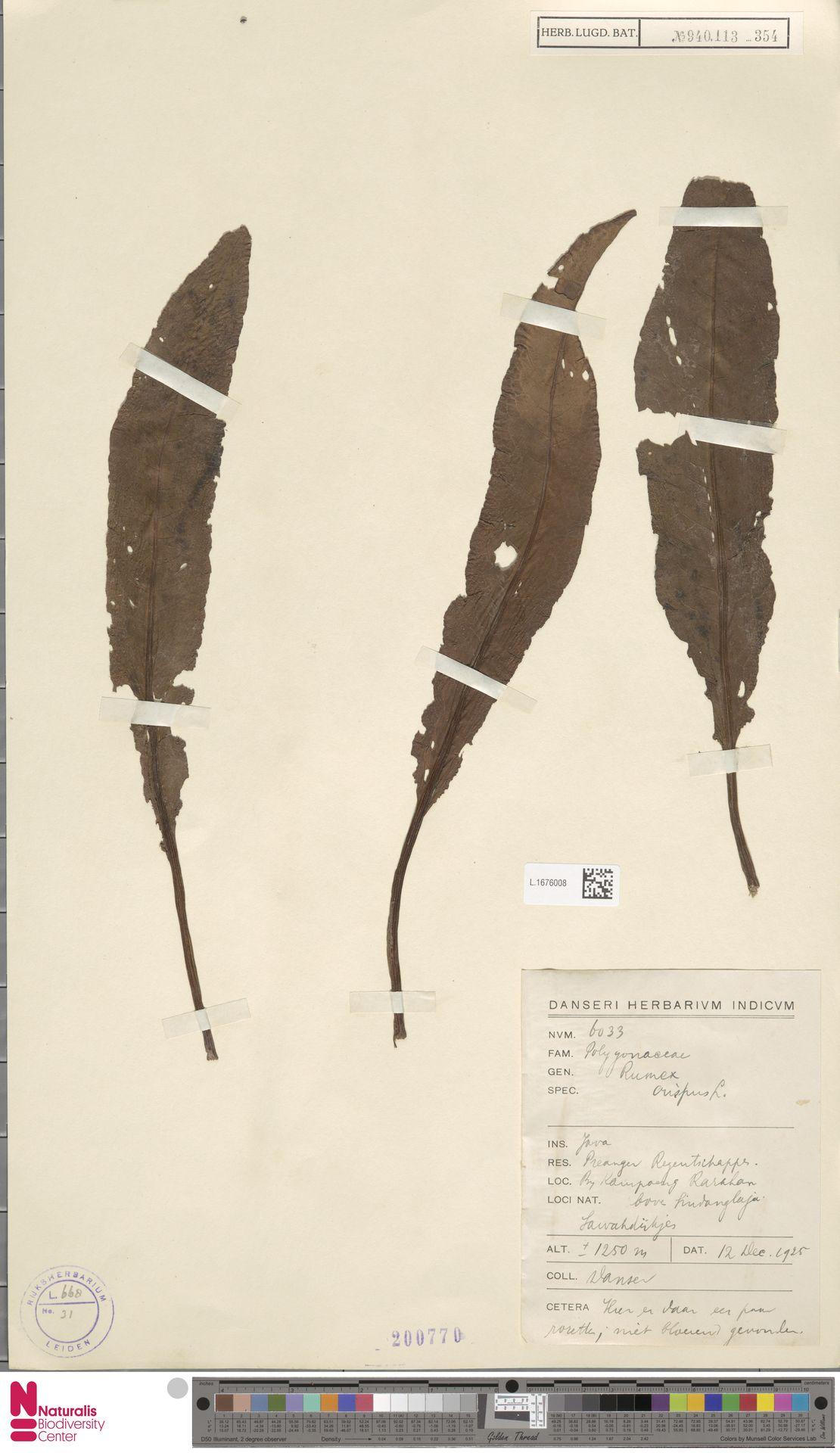 L.1676008 | Rumex crispus L.