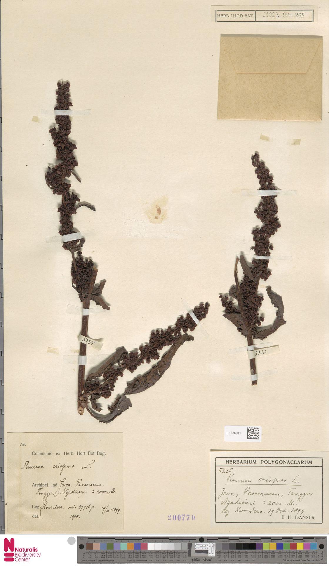 L.1676011 | Rumex crispus L.