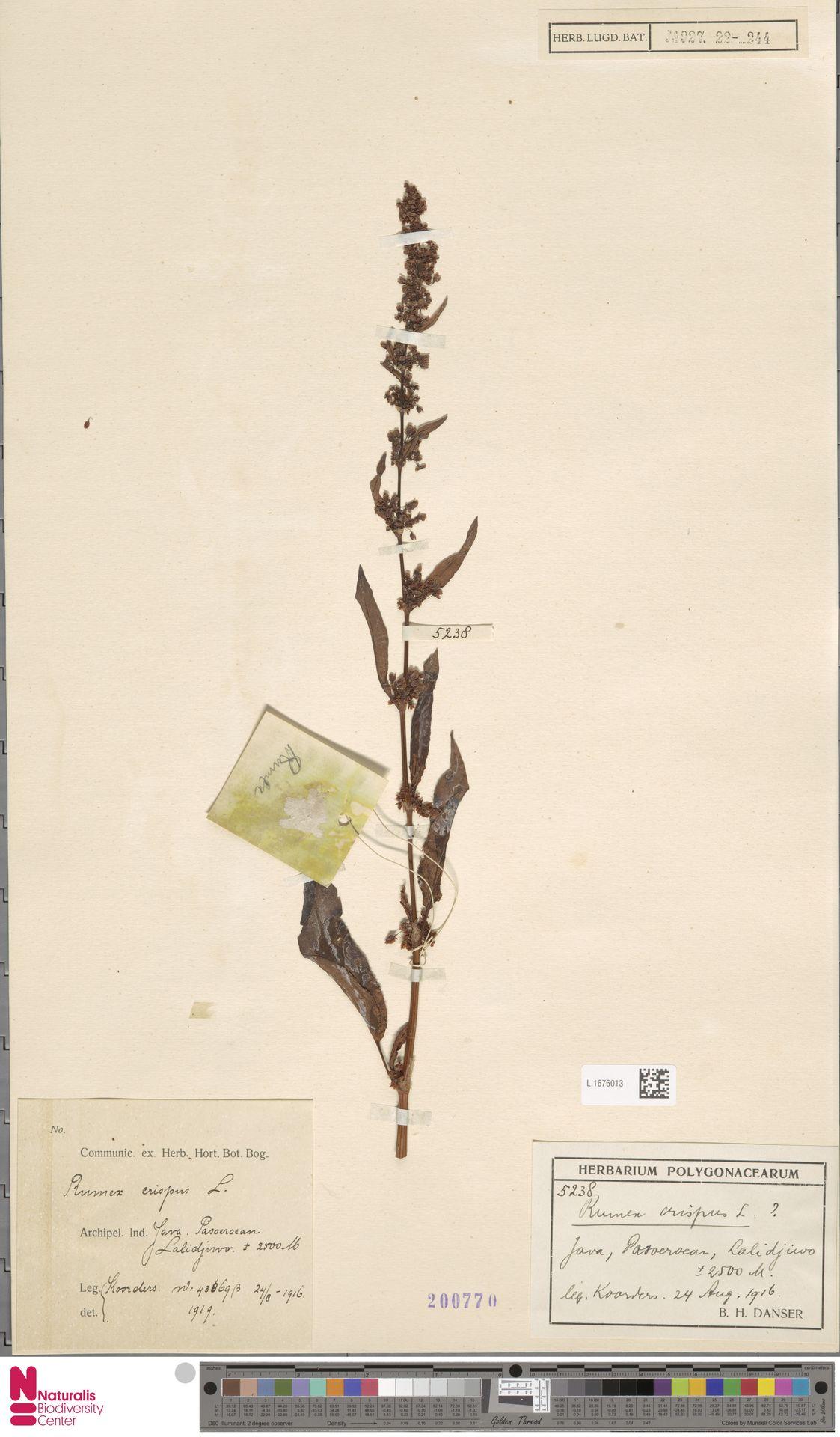 L.1676013 | Rumex crispus L.