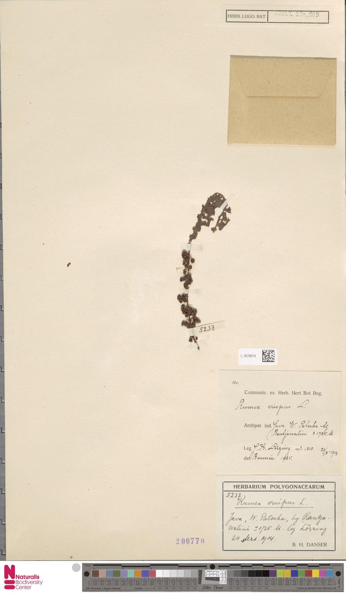 L.1676014 | Rumex crispus L.