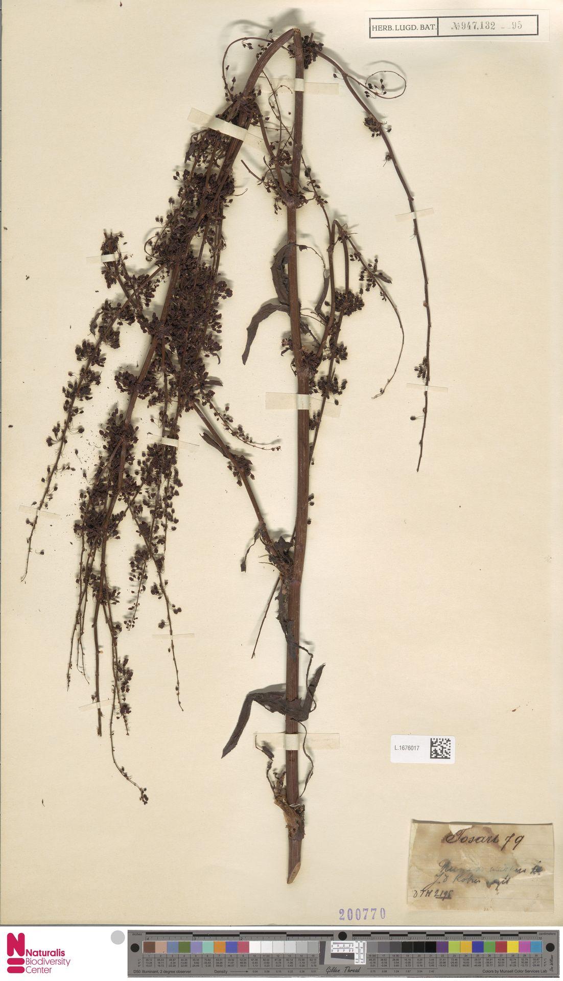 L.1676017 | Rumex crispus L.