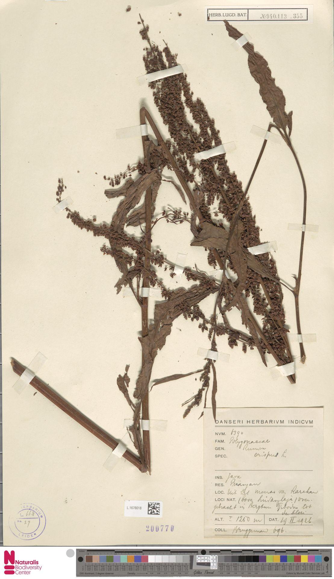 L.1676018 | Rumex crispus L.