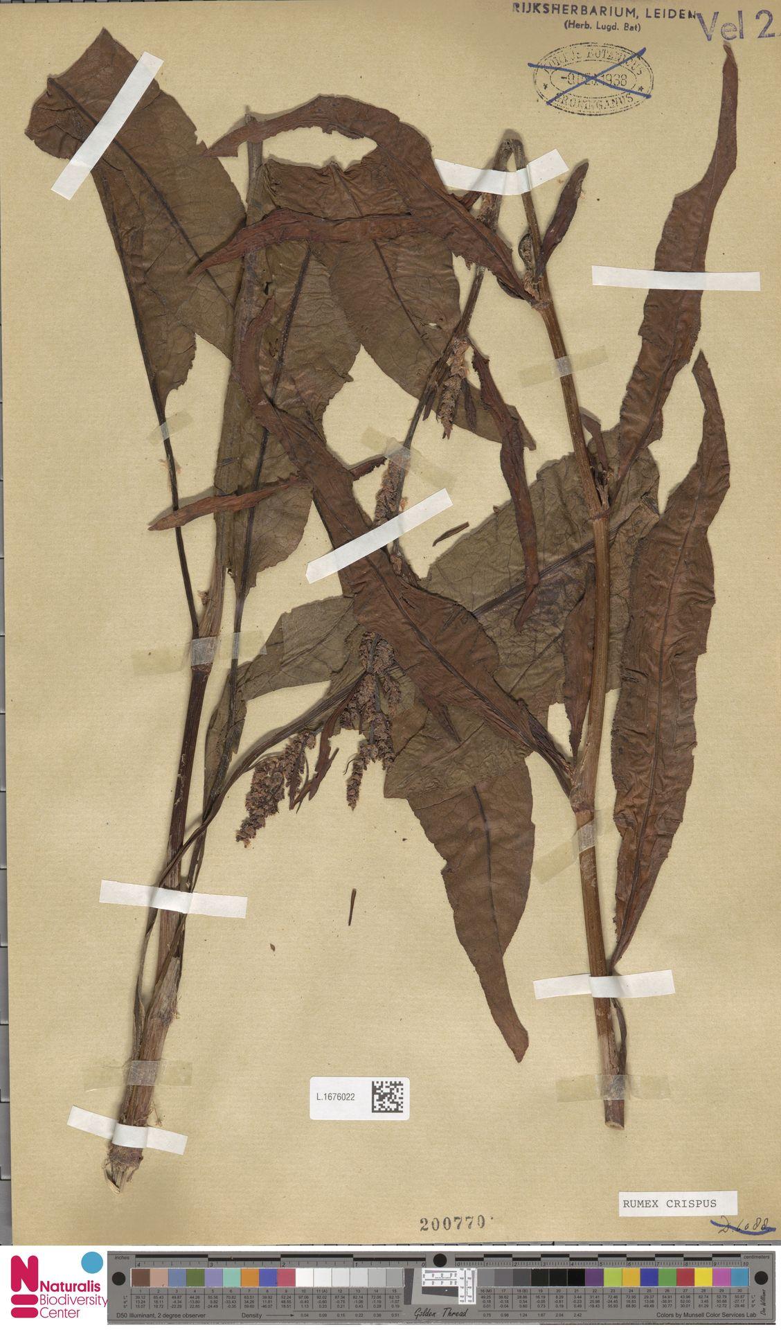 L.1676022   Rumex crispus L.