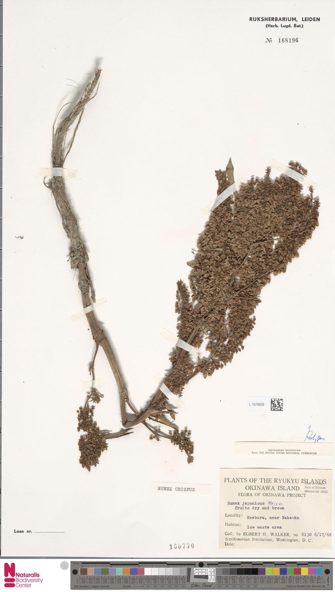 L.1676026 | Rumex crispus L.