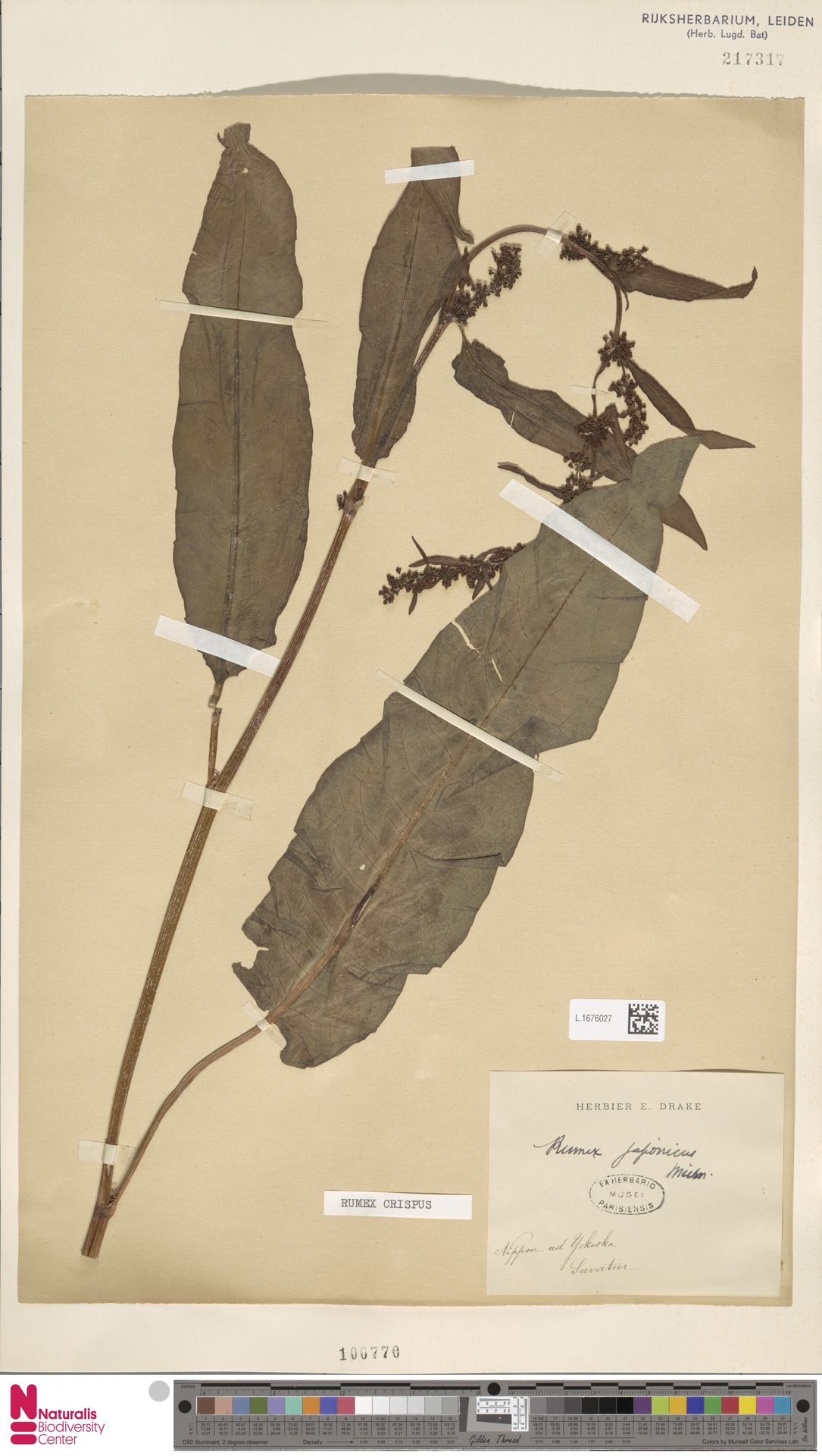 L.1676027 | Rumex crispus L.