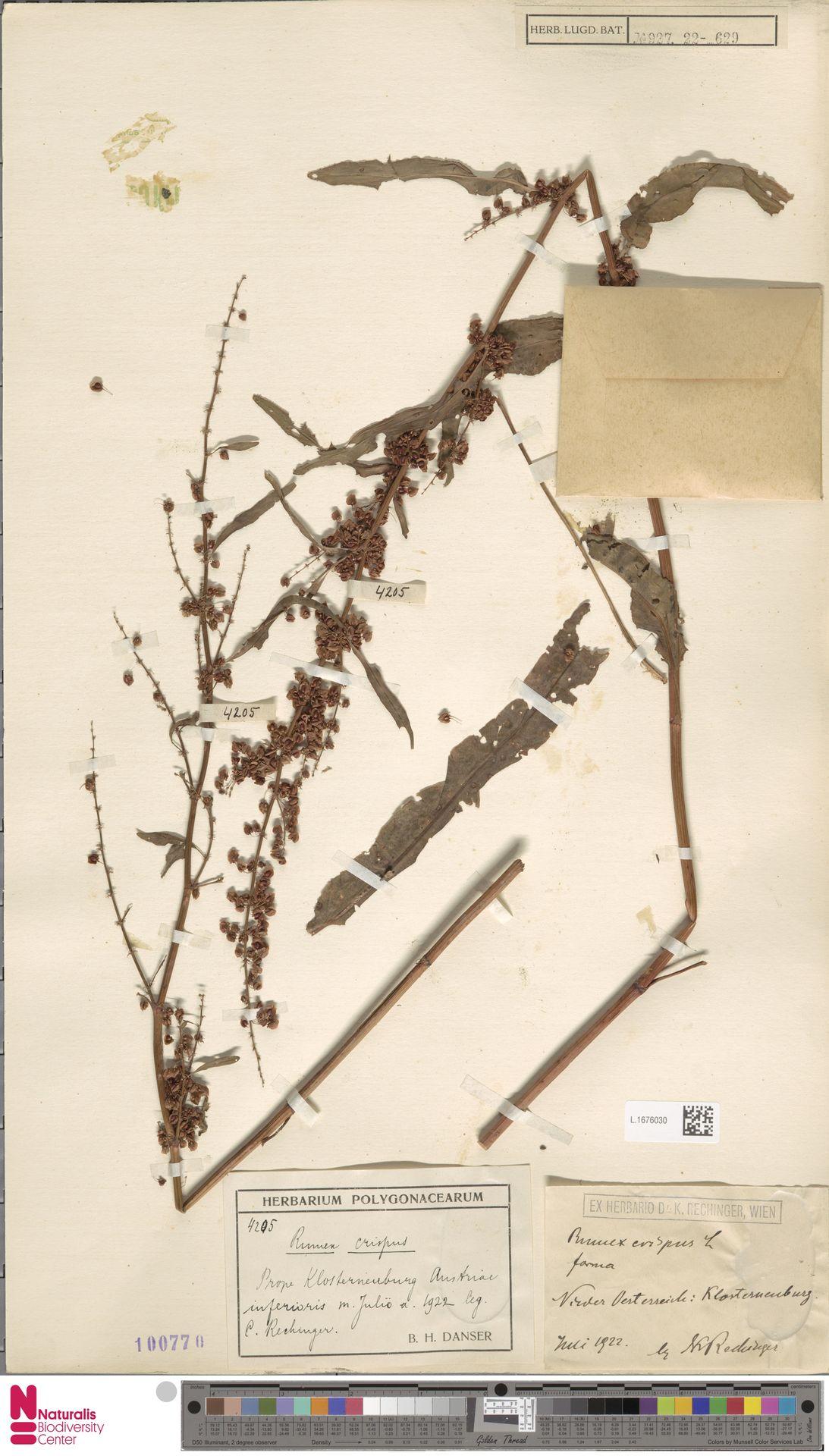 L.1676030 | Rumex crispus L.