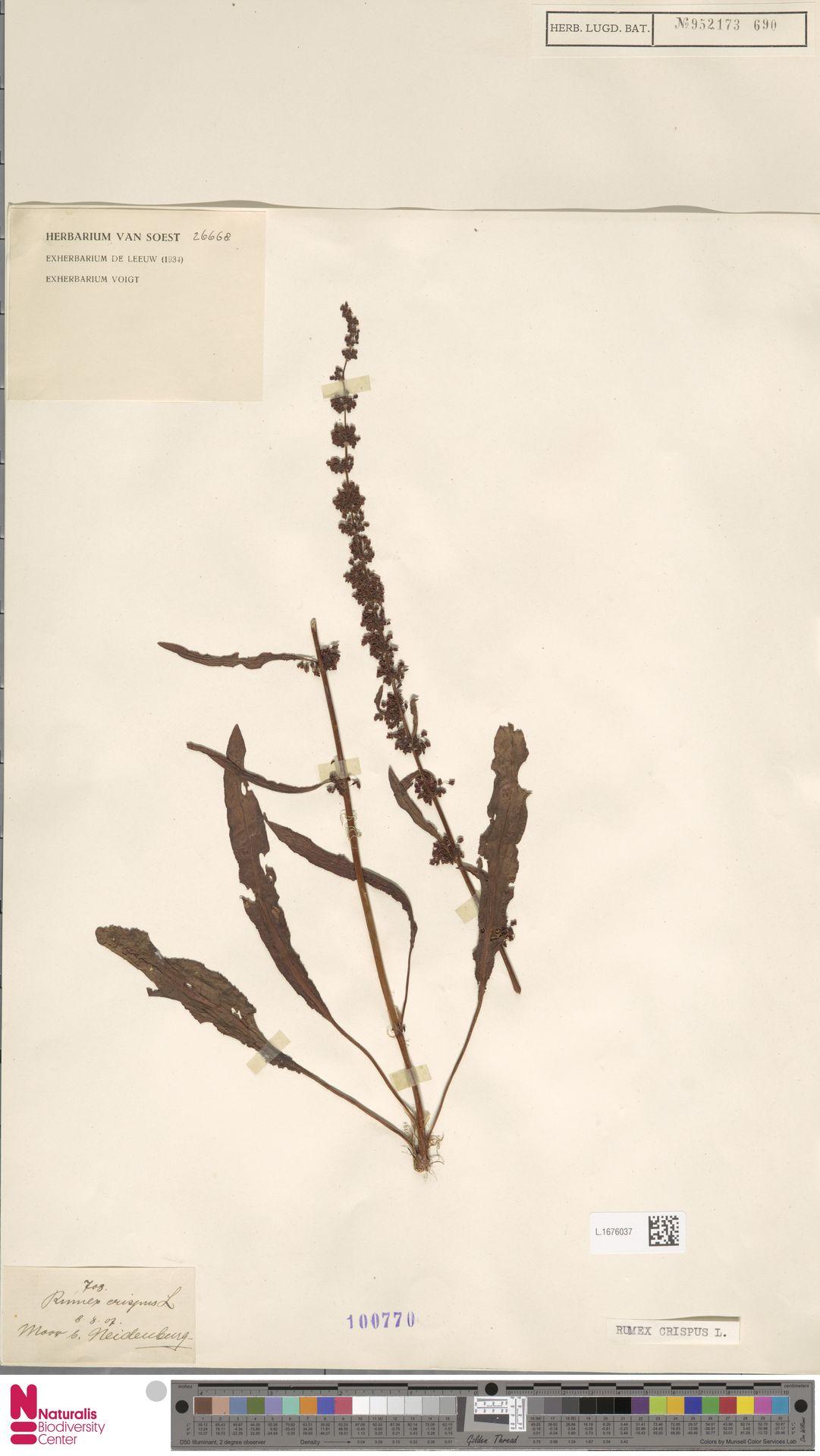 L.1676037 | Rumex crispus L.