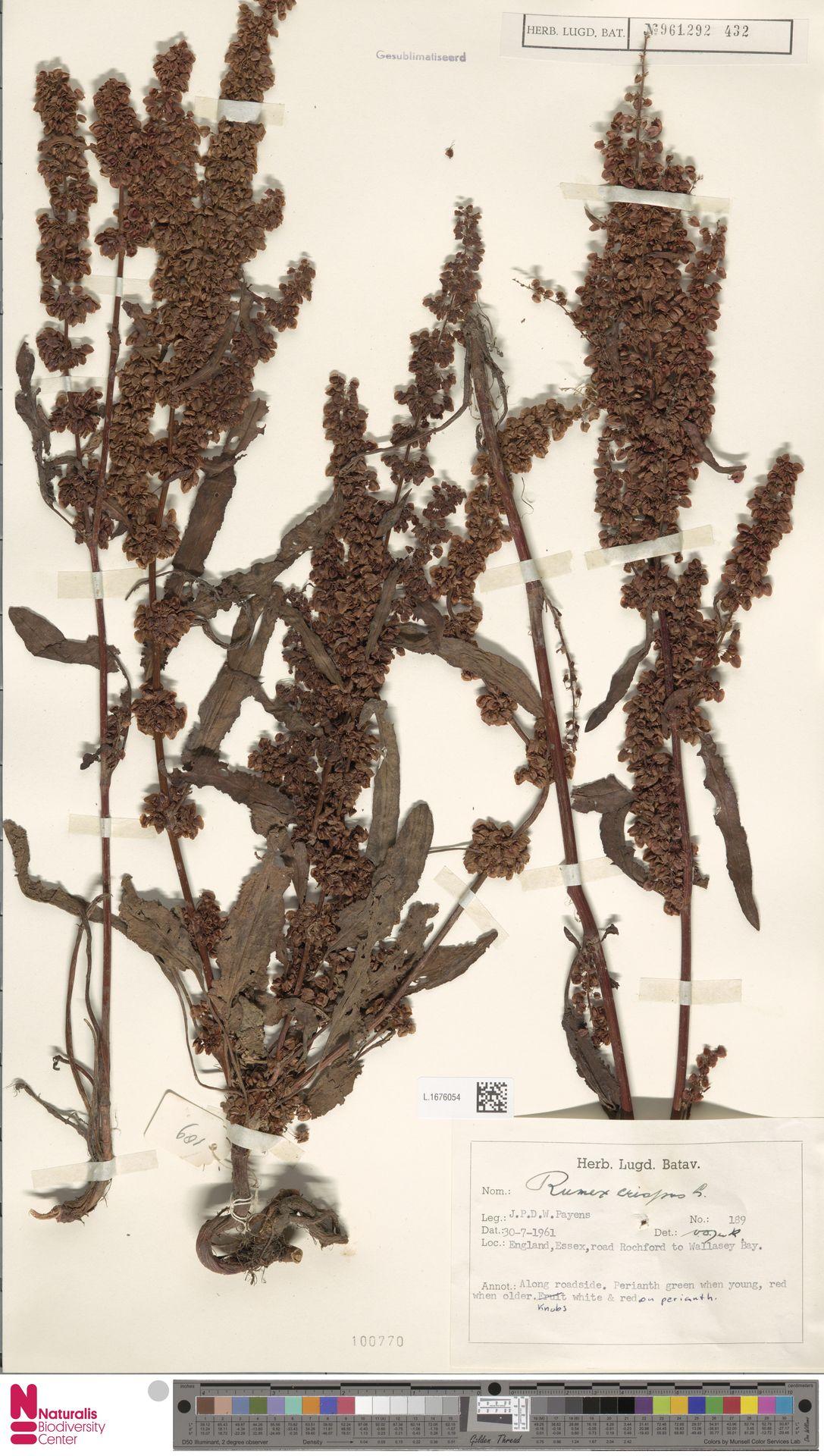 L.1676054 | Rumex crispus L.