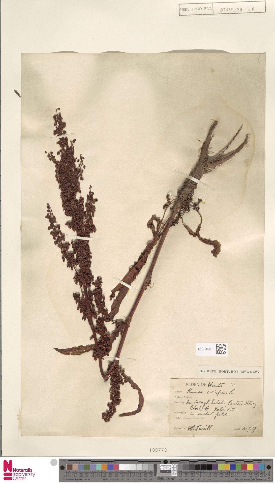 L.1676058 | Rumex crispus L.