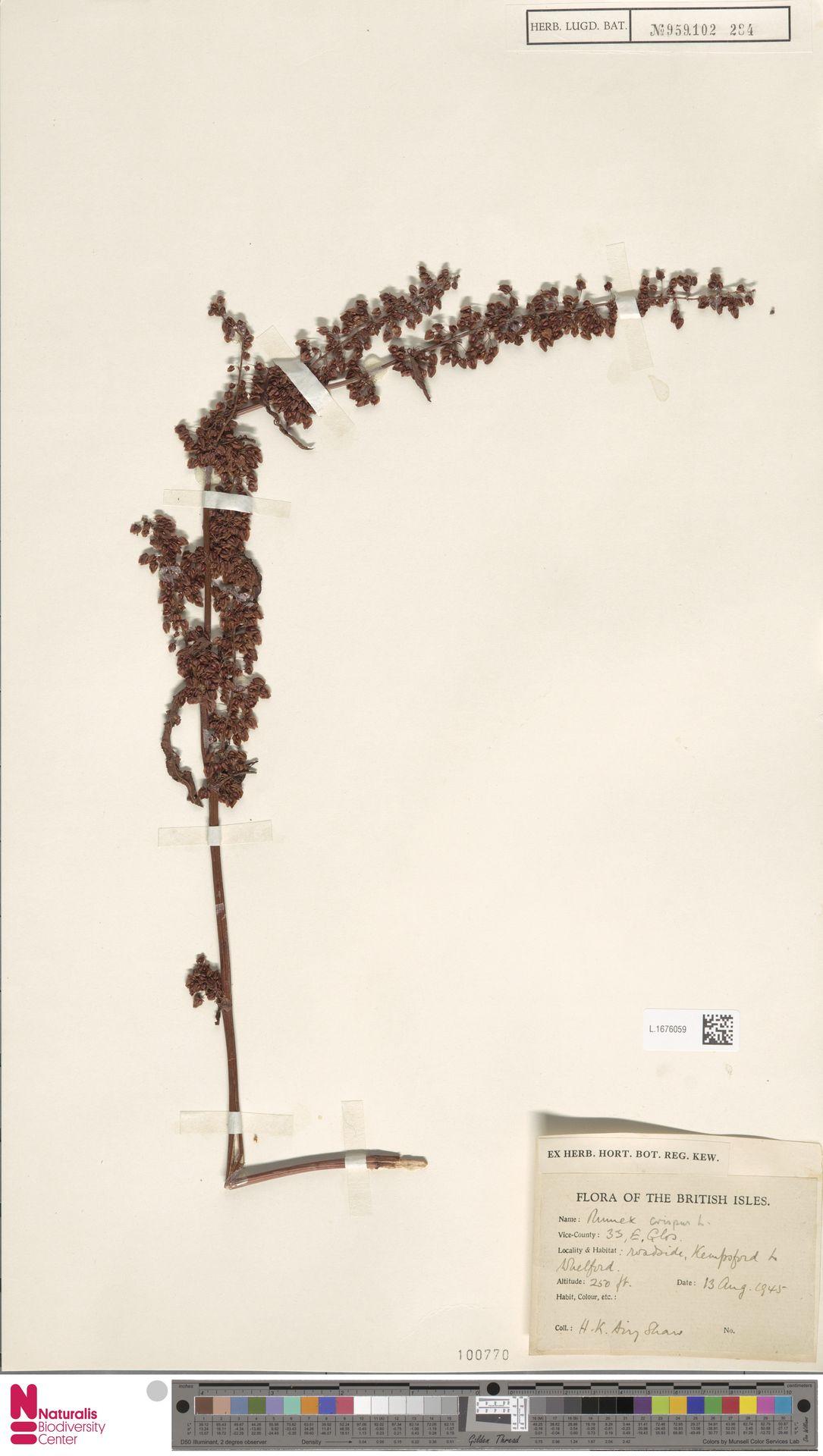 L.1676059 | Rumex crispus L.