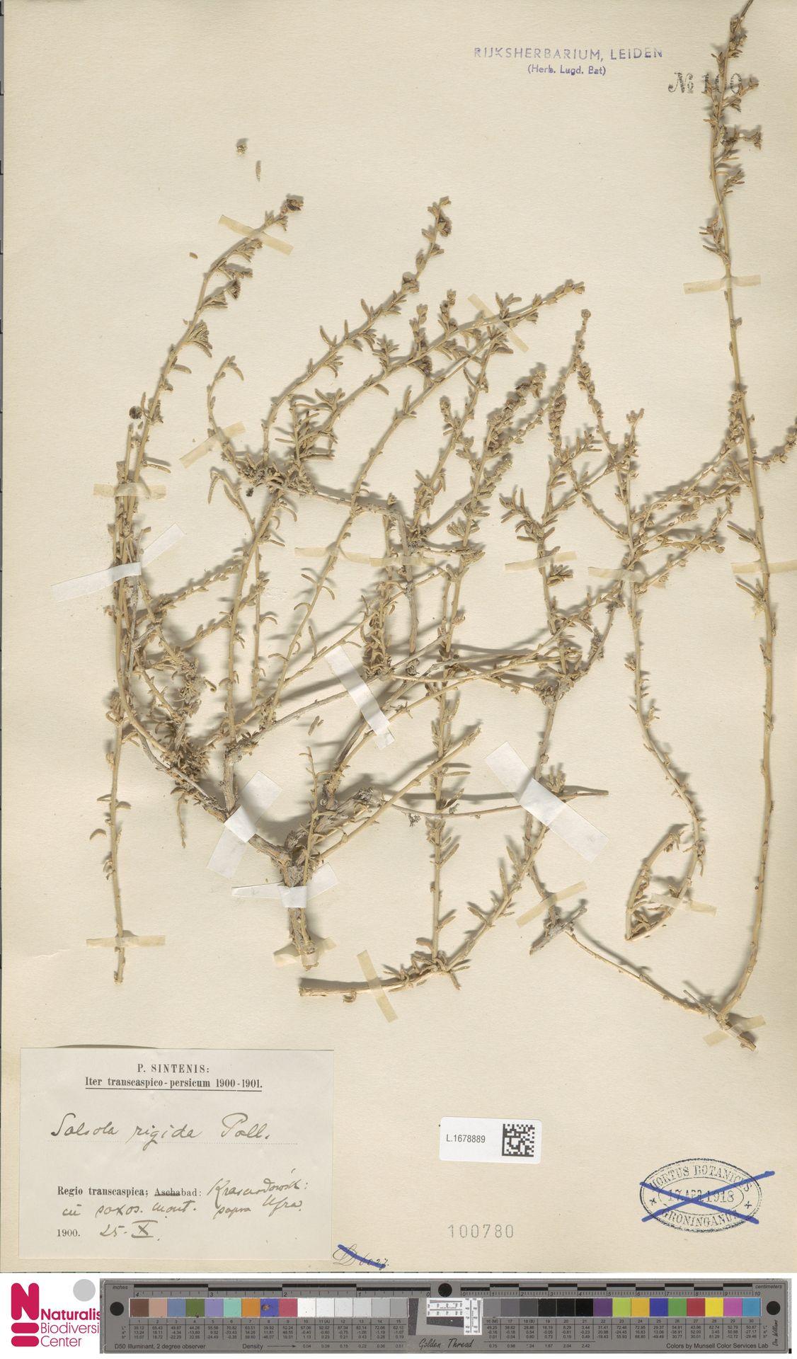 L.1678889   Salsola rigida Pall.