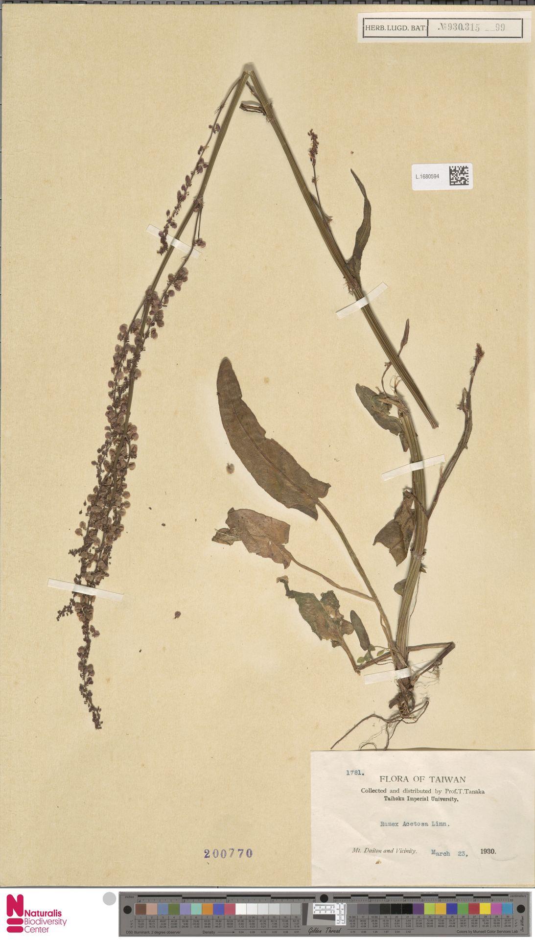 L.1680594 | Rumex acetosa L.