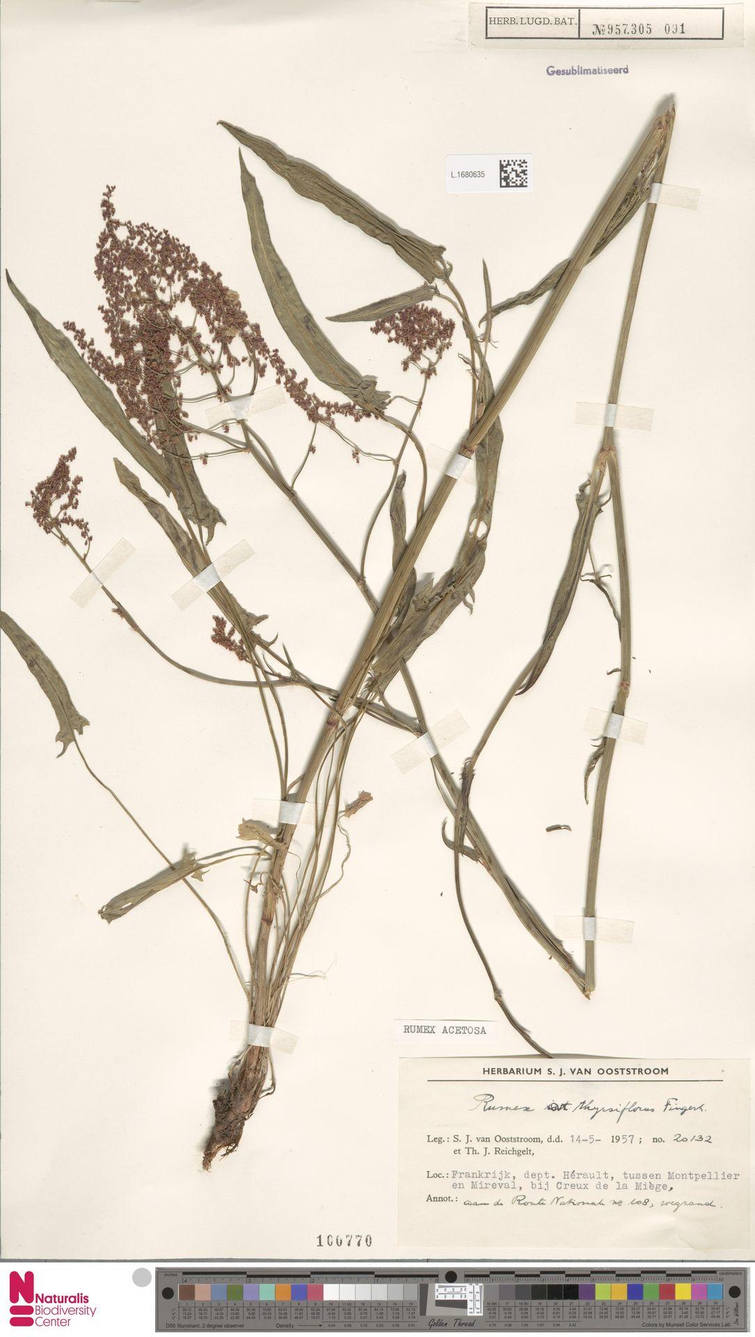 L.1680635 | Rumex acetosa L.