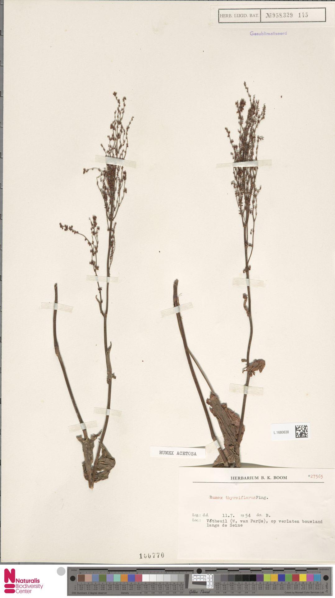 L.1680638 | Rumex acetosa L.