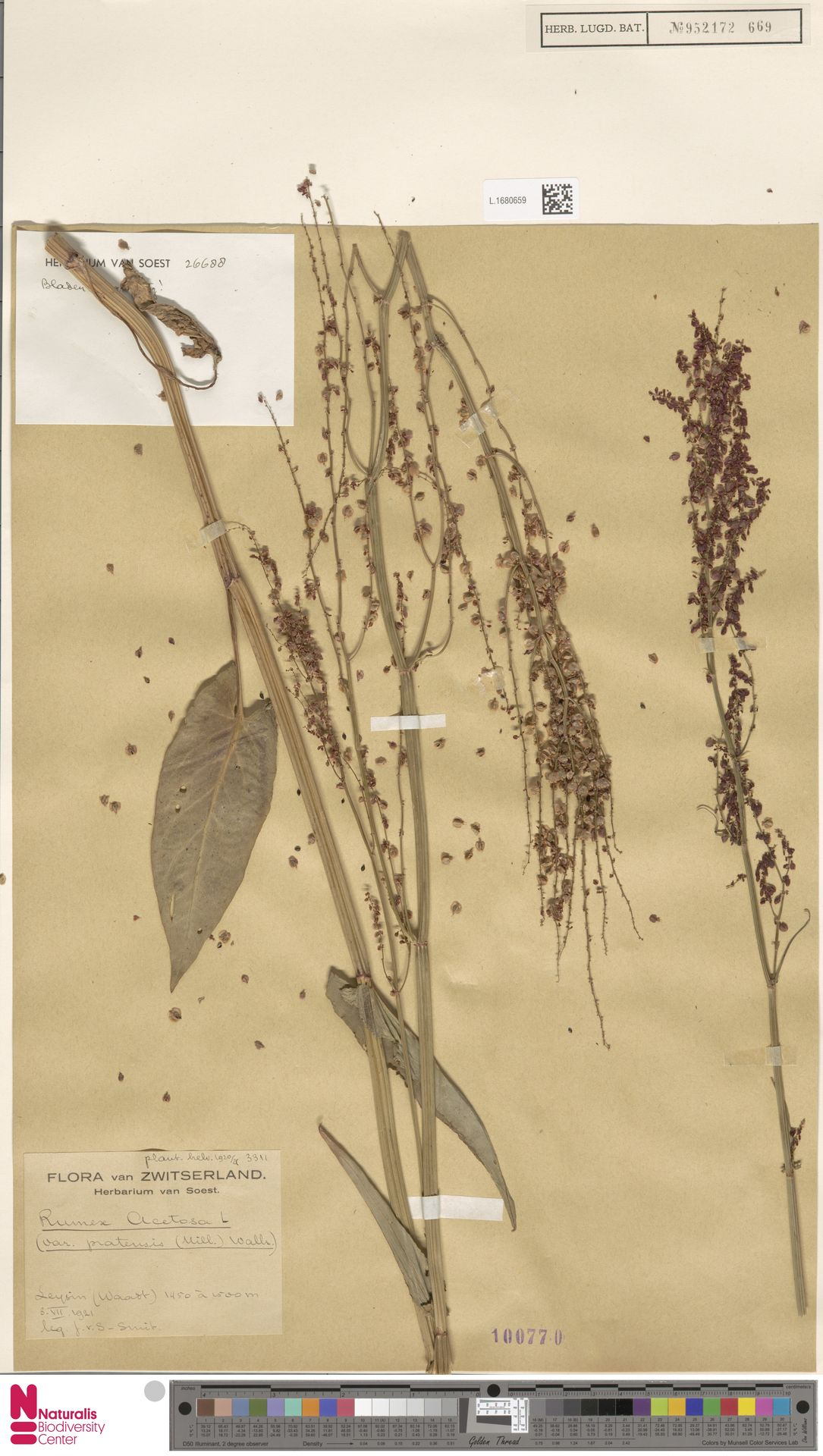 L.1680659   Rumex acetosa L.