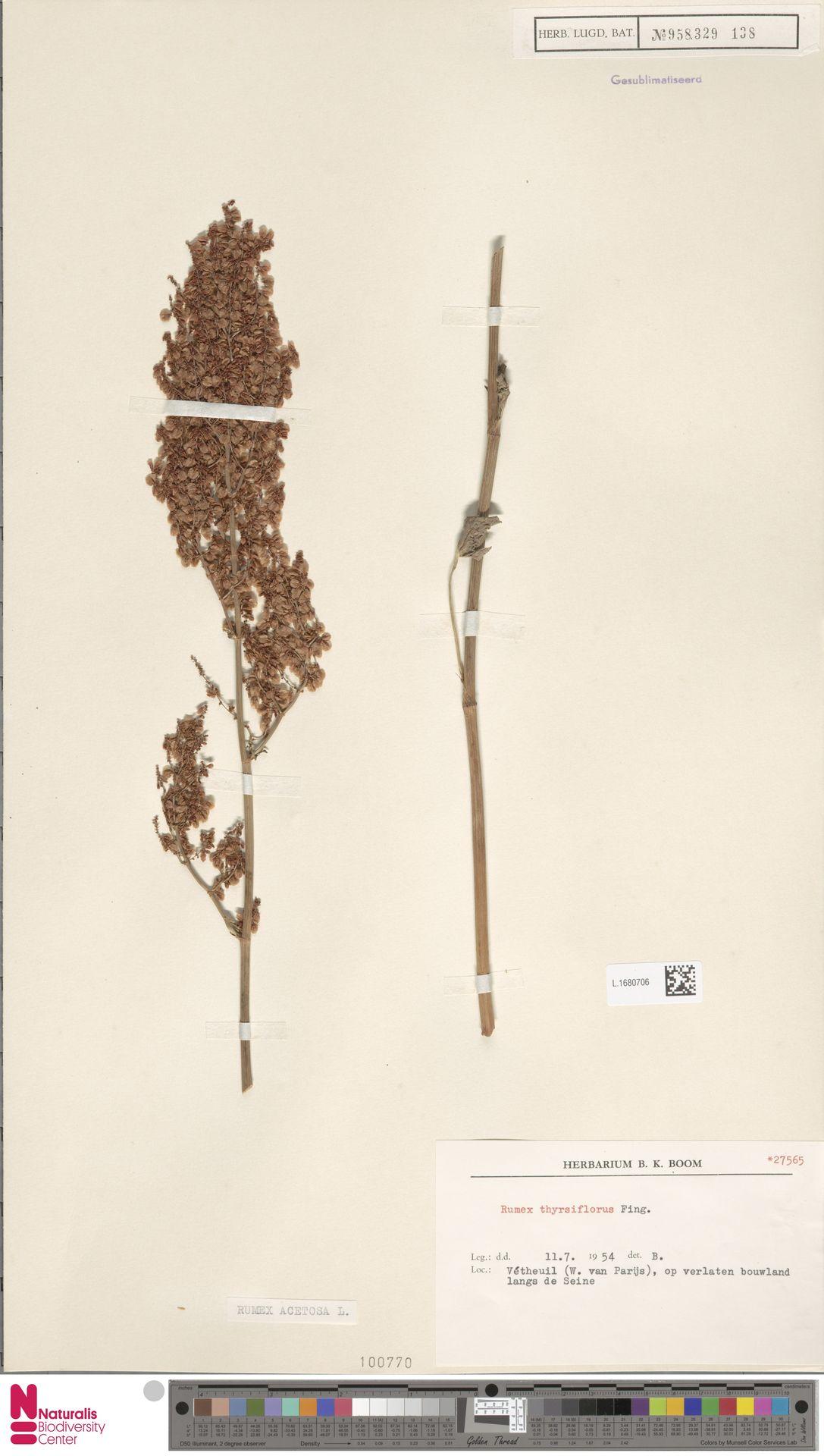 L.1680706 | Rumex acetosa L.