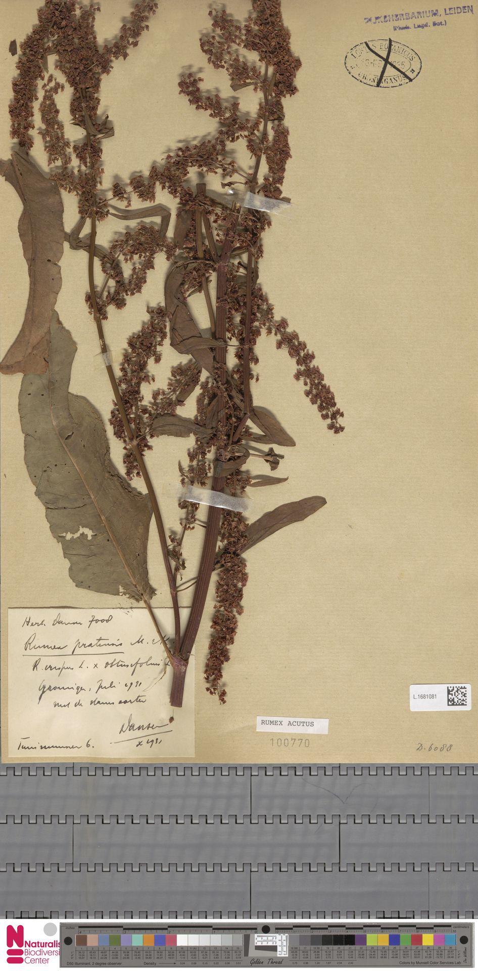 L.1681081 | Rumex acutus Sm.